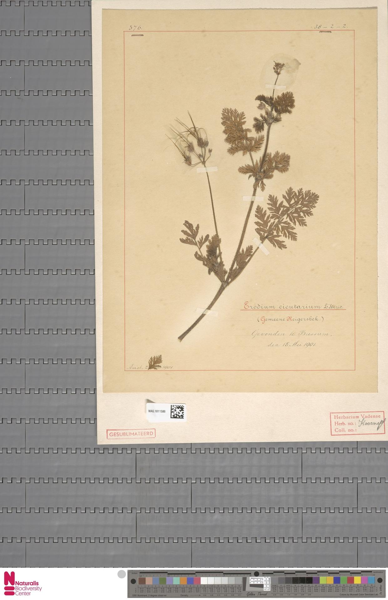 WAG.1811586 | Erodium cicutarium (L.) L'Hér.