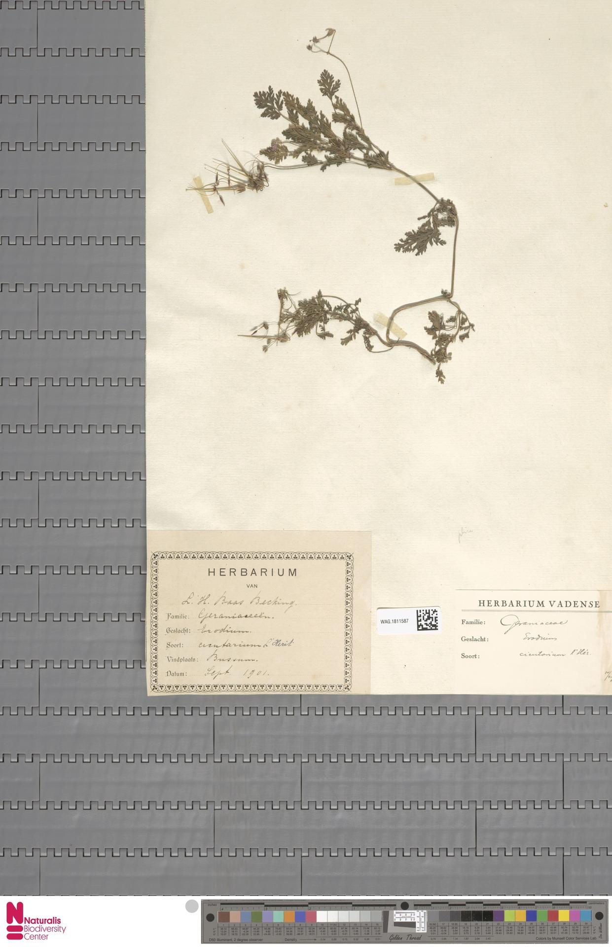 WAG.1811587   Erodium cicutarium (L.) L'Hér.