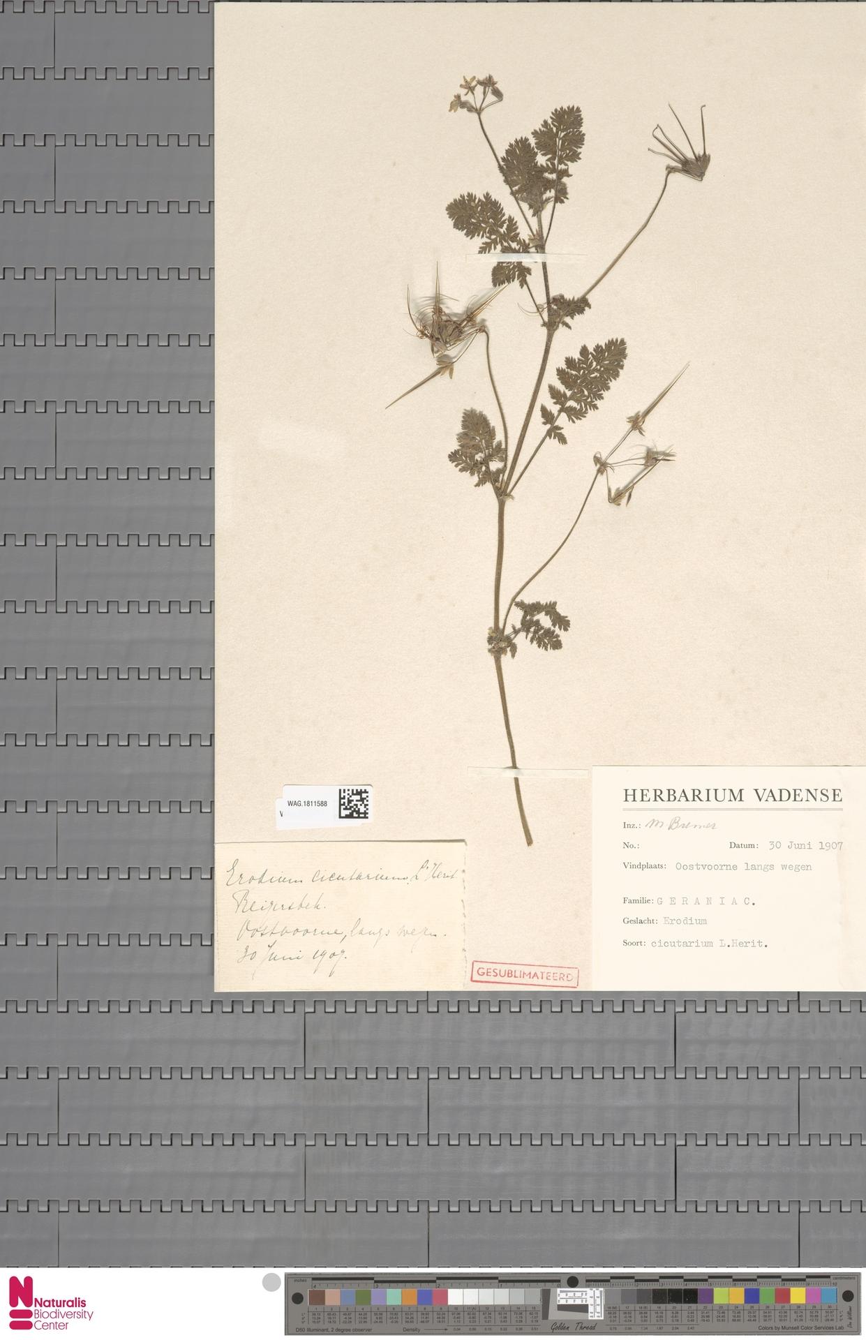 WAG.1811588 | Erodium cicutarium (L.) L'Hér.