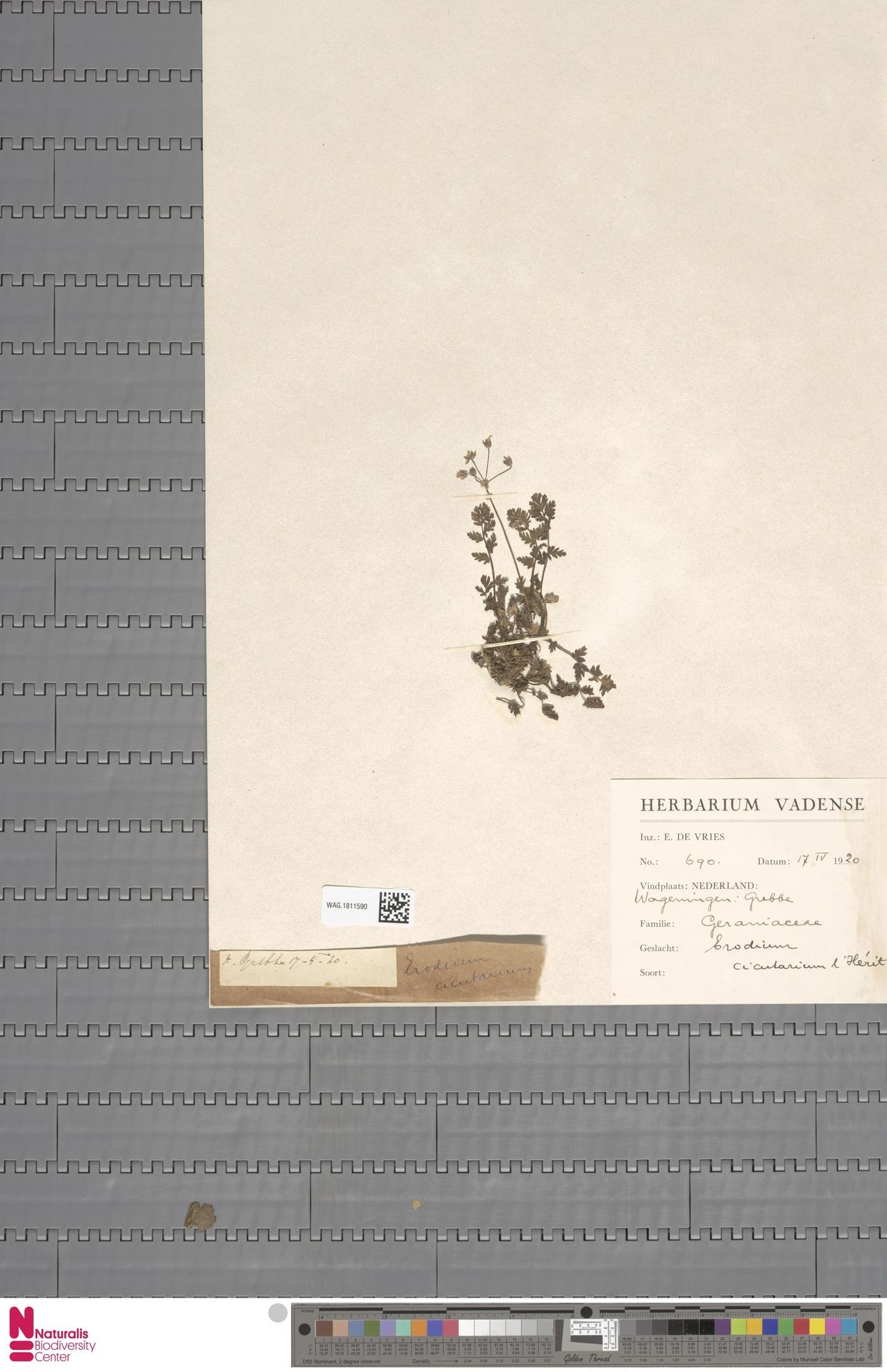 WAG.1811590 | Erodium cicutarium (L.) L'Hér.