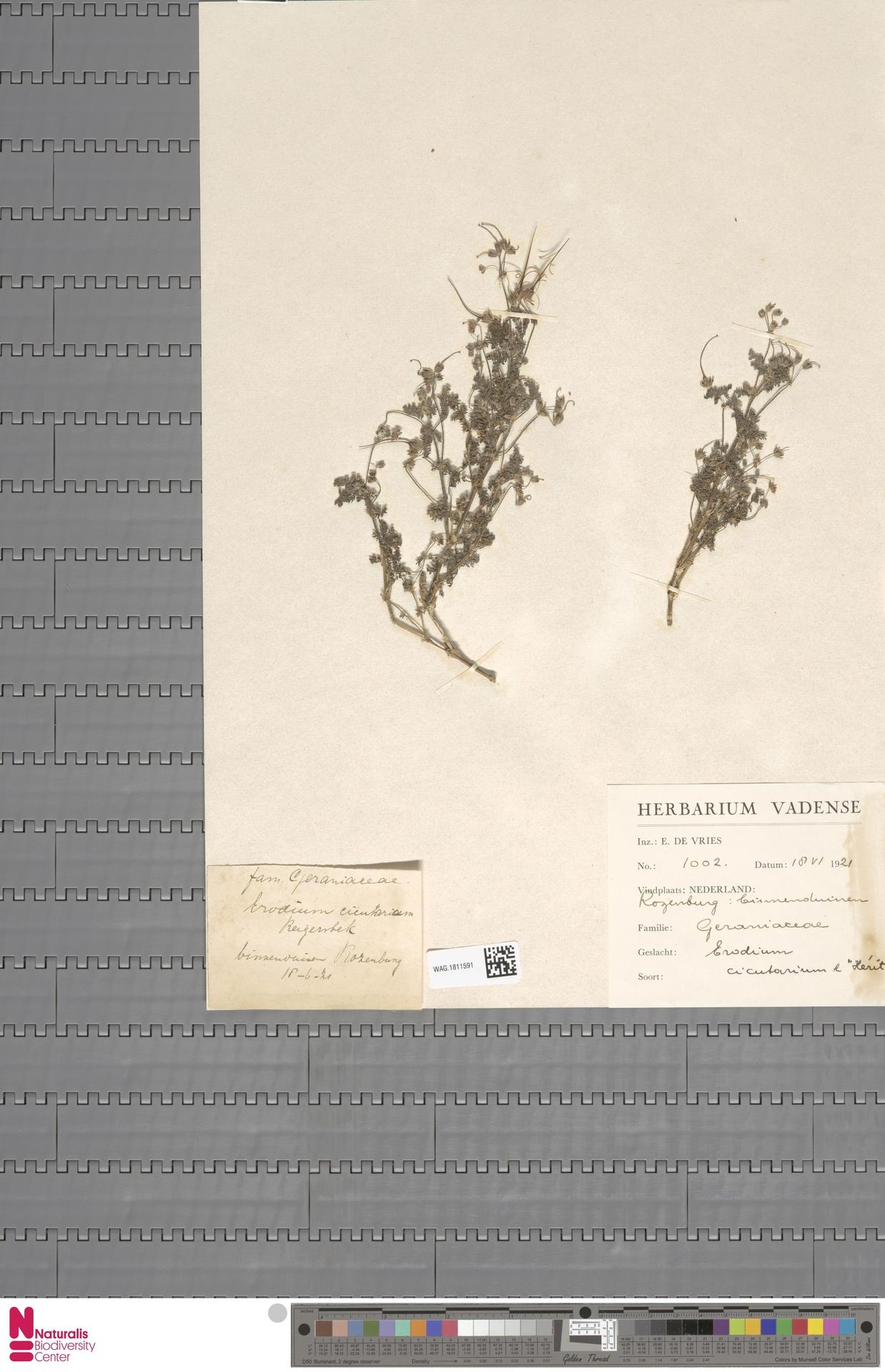 WAG.1811591 | Erodium cicutarium (L.) L'Hér.