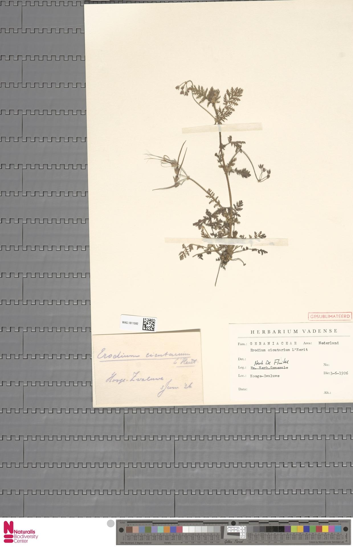 WAG.1811592 | Erodium cicutarium (L.) L'Hér.