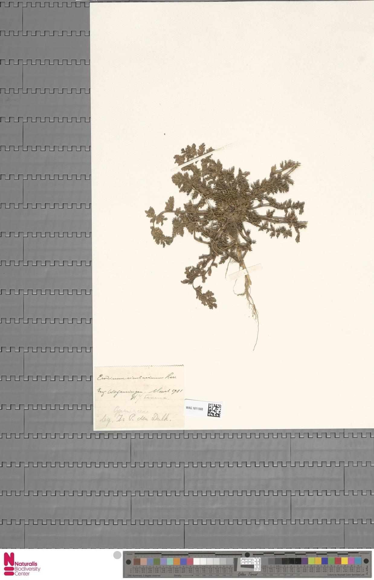 WAG.1811593   Erodium cicutarium (L.) L'Hér.
