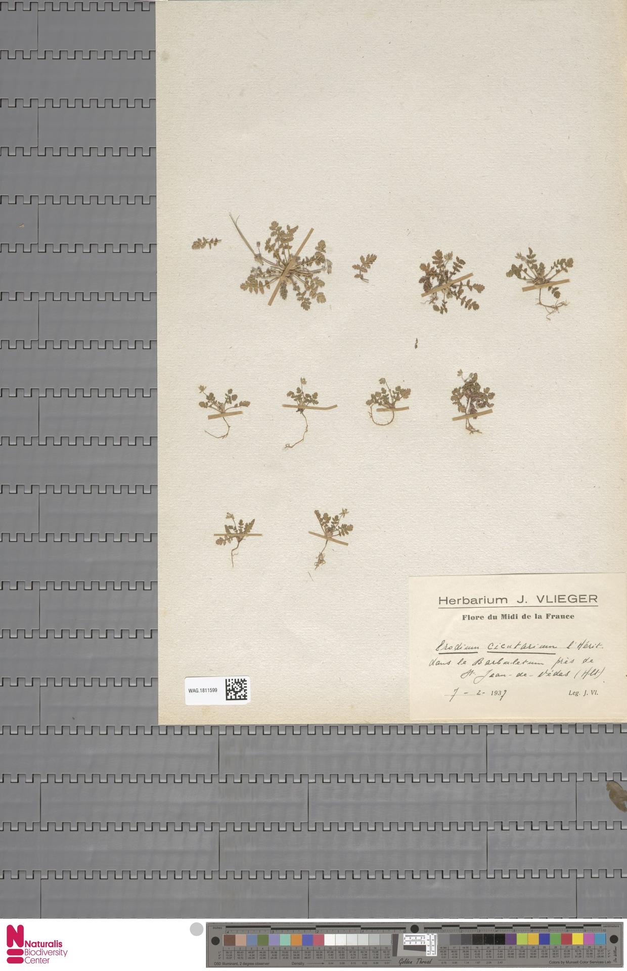 WAG.1811599 | Erodium cicutarium (L.) L'Hér.