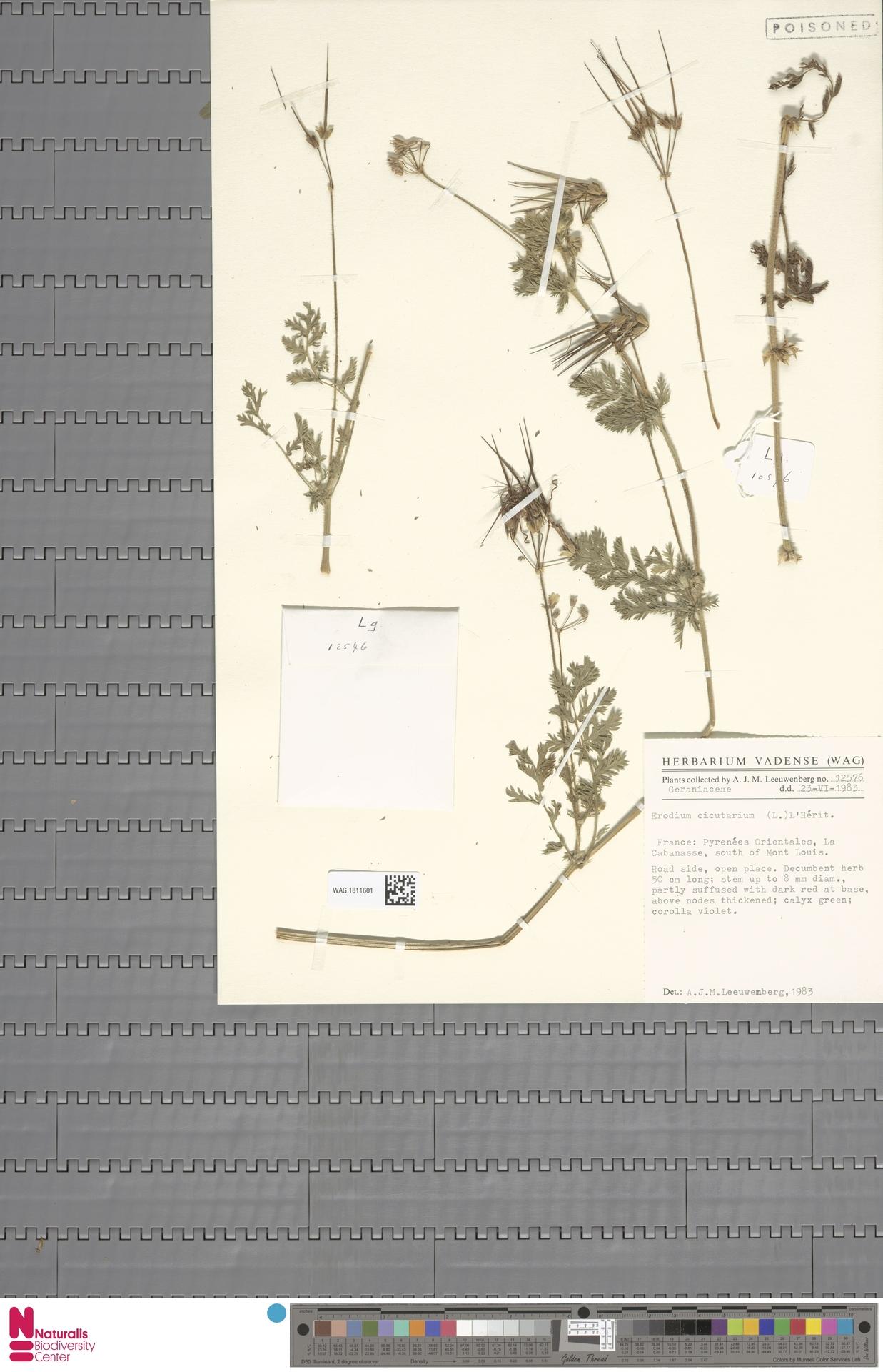 WAG.1811601 | Erodium cicutarium (L.) L'Hér.