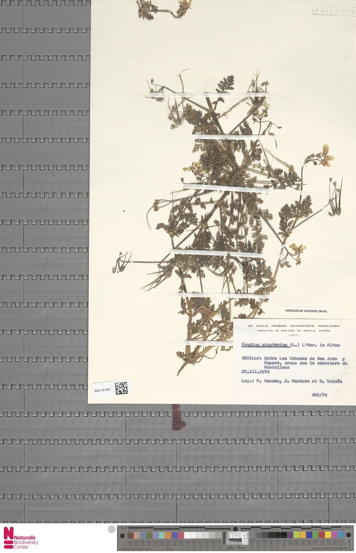 WAG.1811607 | Erodium cicutarium (L.) L'Hér.