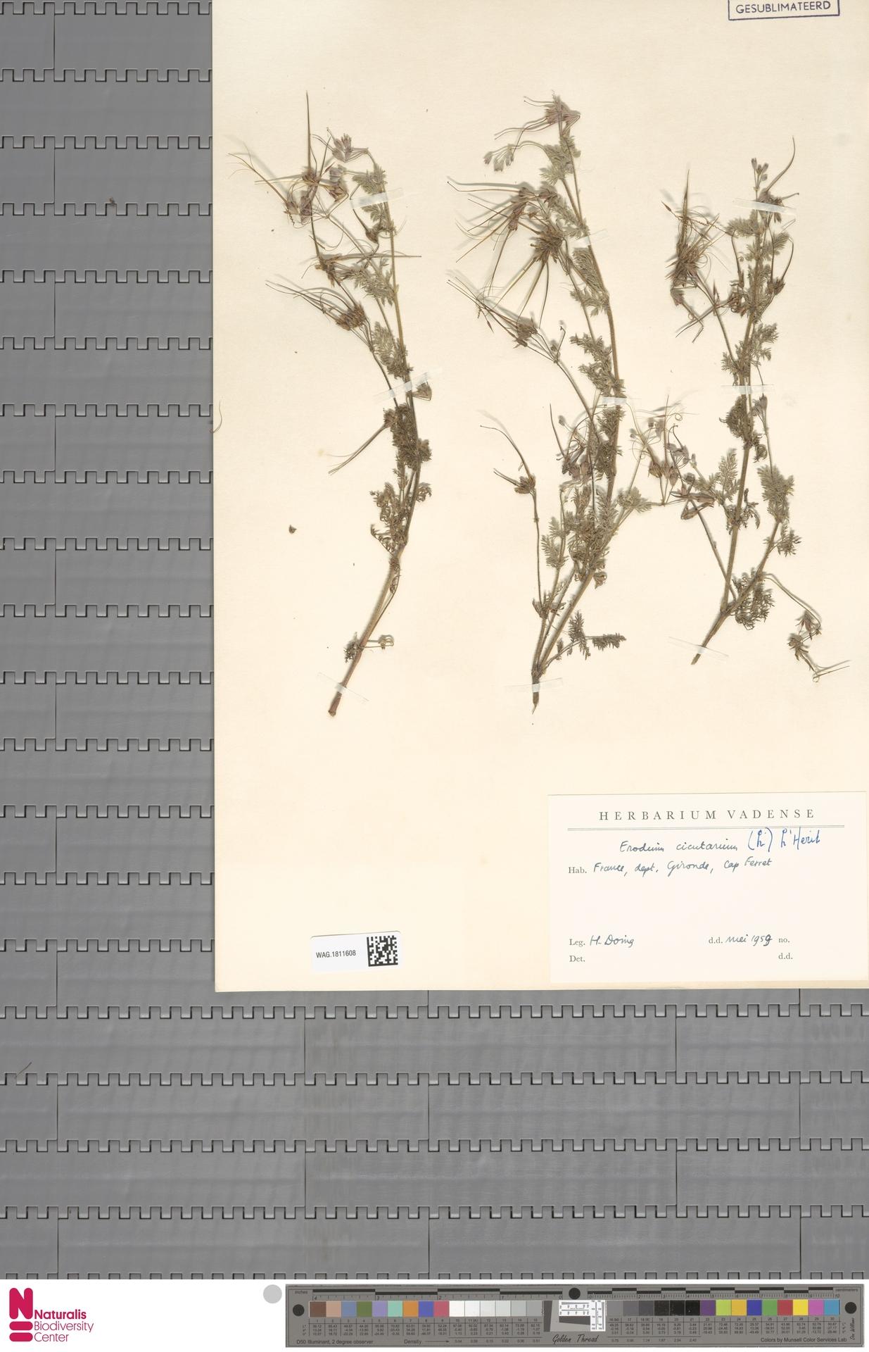 WAG.1811608 | Erodium cicutarium (L.) L'Hér.