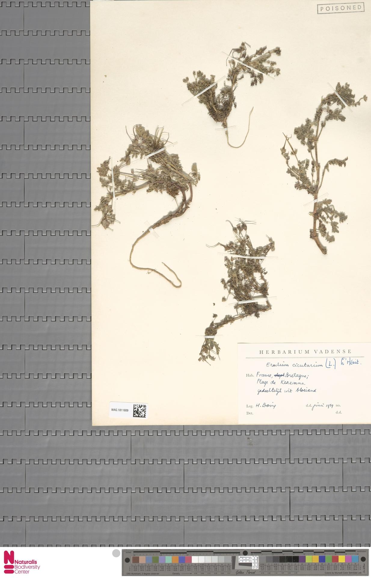 WAG.1811609 | Erodium cicutarium (L.) L'Hér.