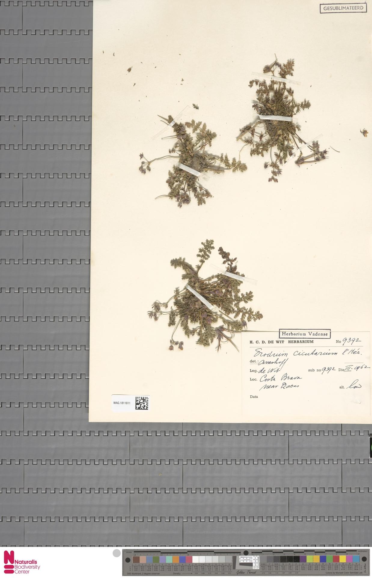 WAG.1811611 | Erodium cicutarium (L.) L'Hér.