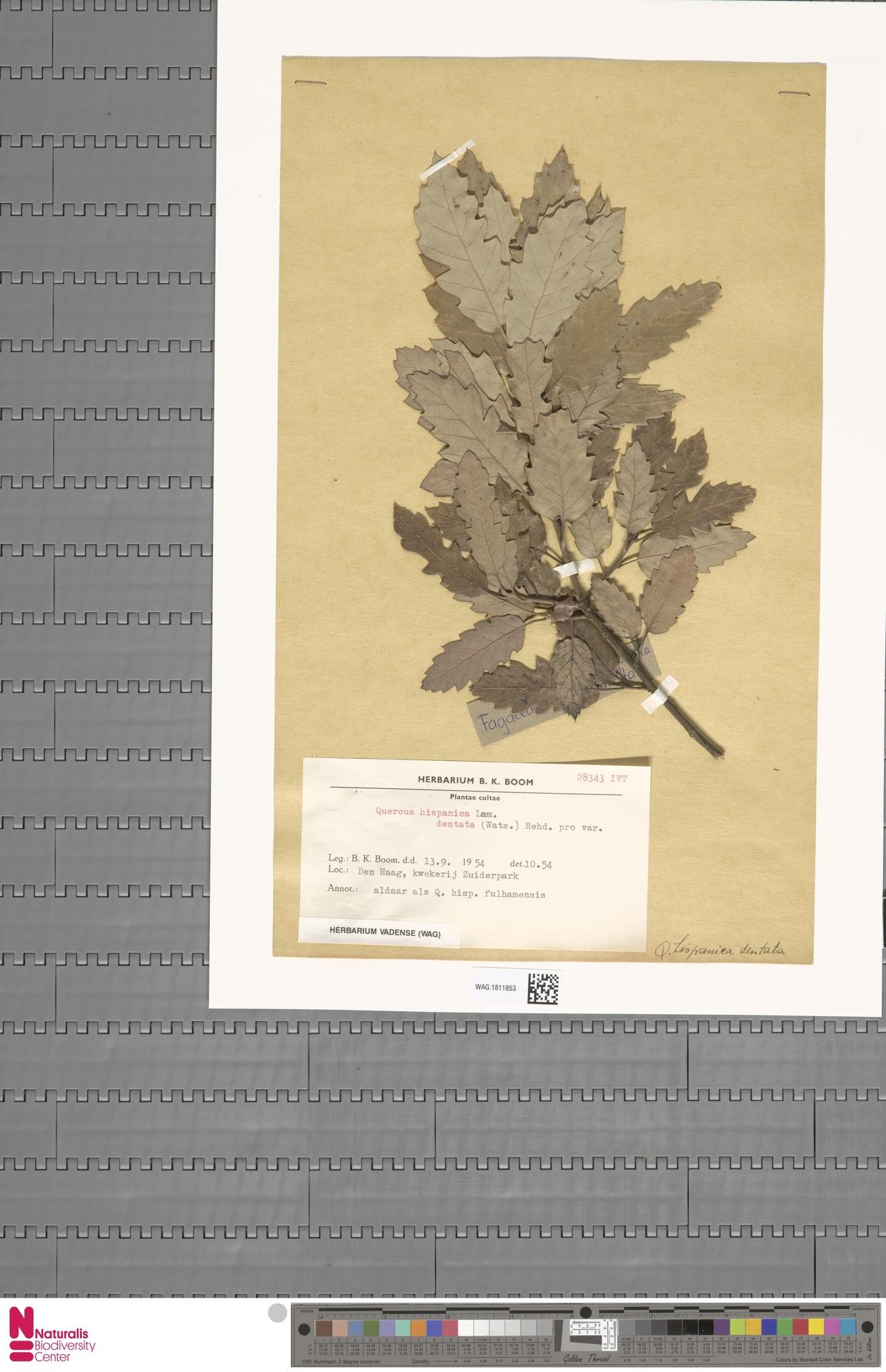 WAG.1811853 | Quercus hispanica var. dentata (P.Watson) Rehder