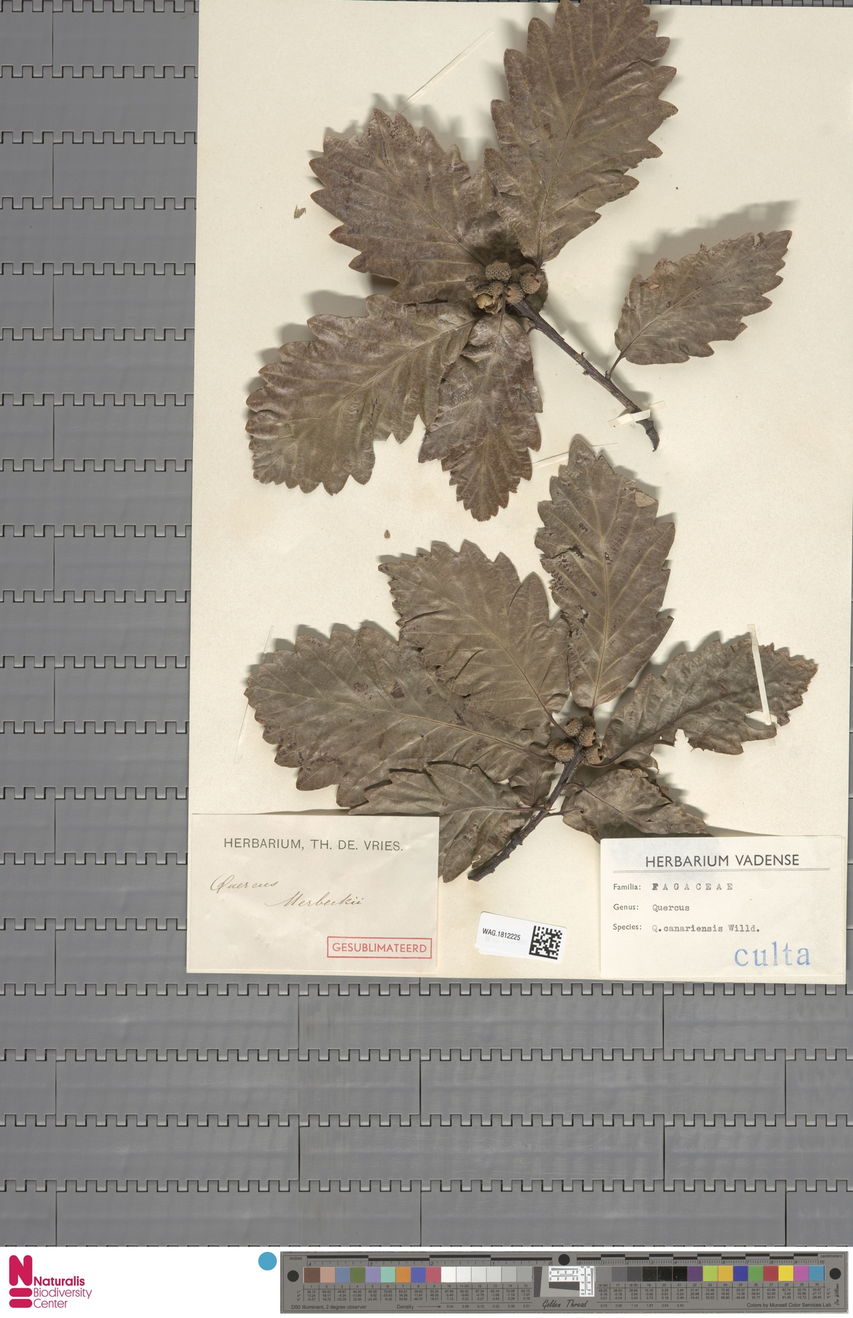 WAG.1812225 | Quercus canariensis Willd.