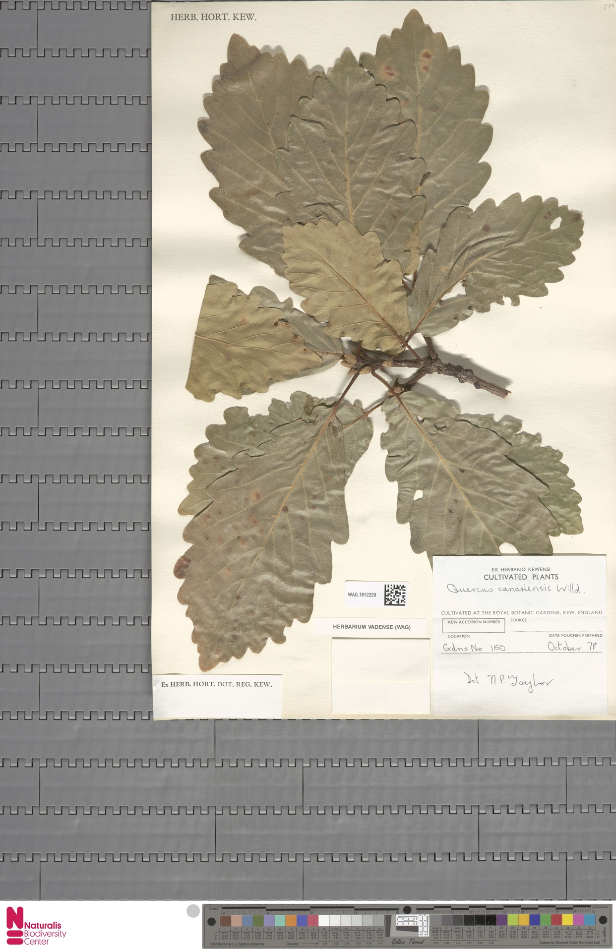 WAG.1812229   Quercus canariensis Willd.