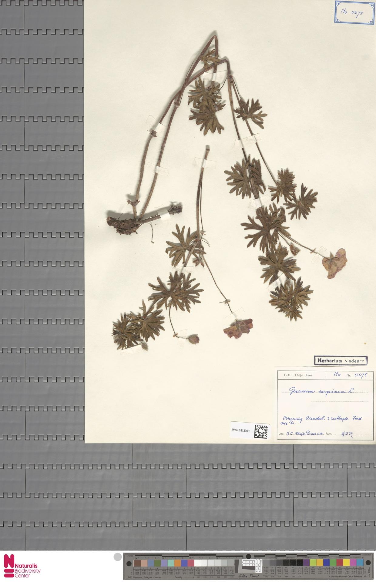 WAG.1813009 | Geranium sanguineum L.