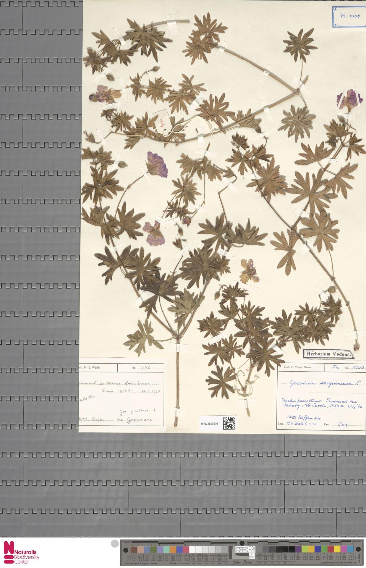 WAG.1813010 | Geranium sanguineum L.