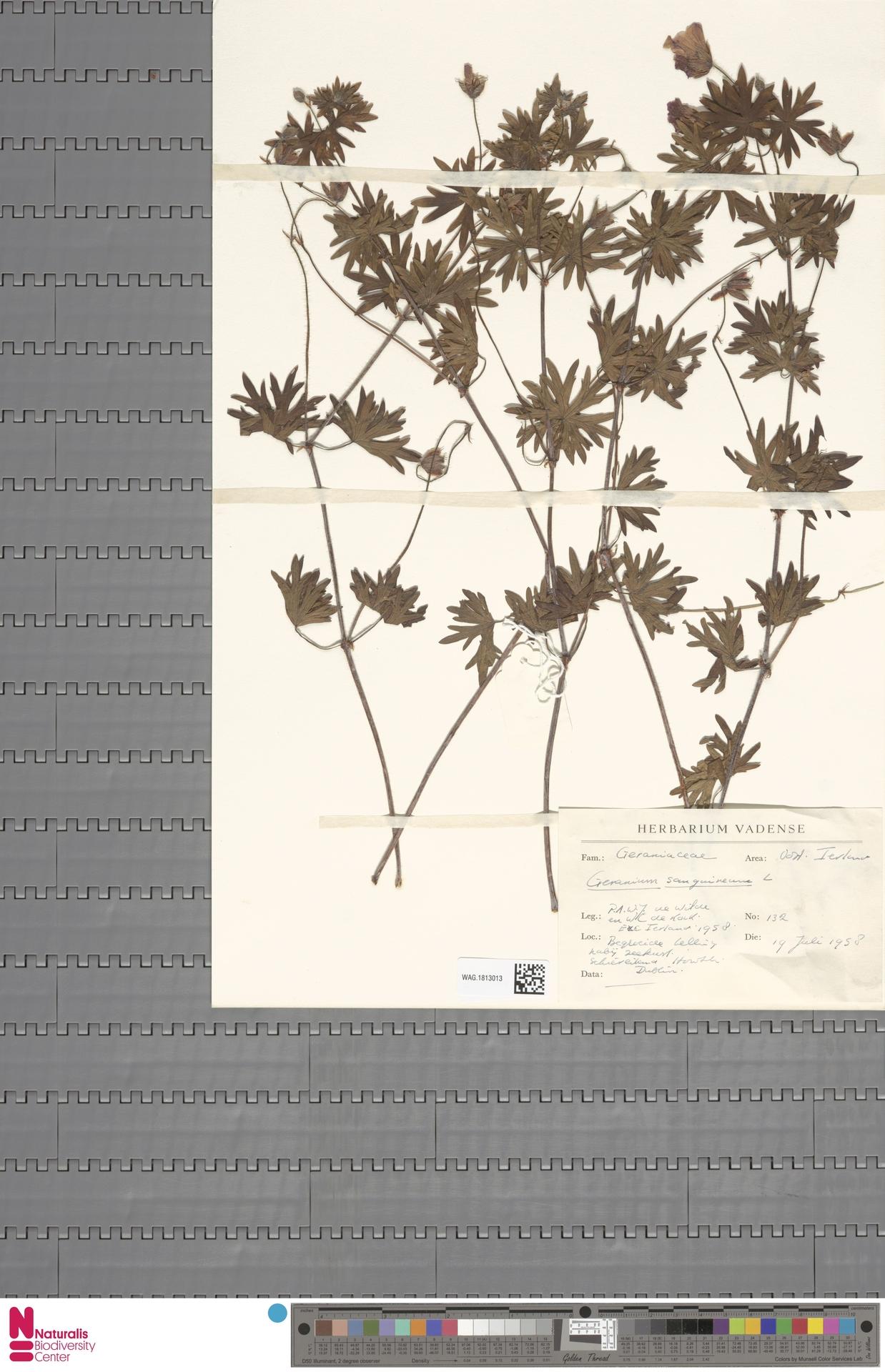 WAG.1813013 | Geranium sanguineum L.