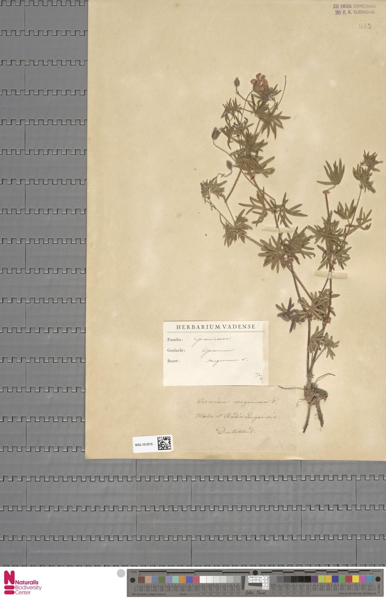 WAG.1813016   Geranium sanguineum L.