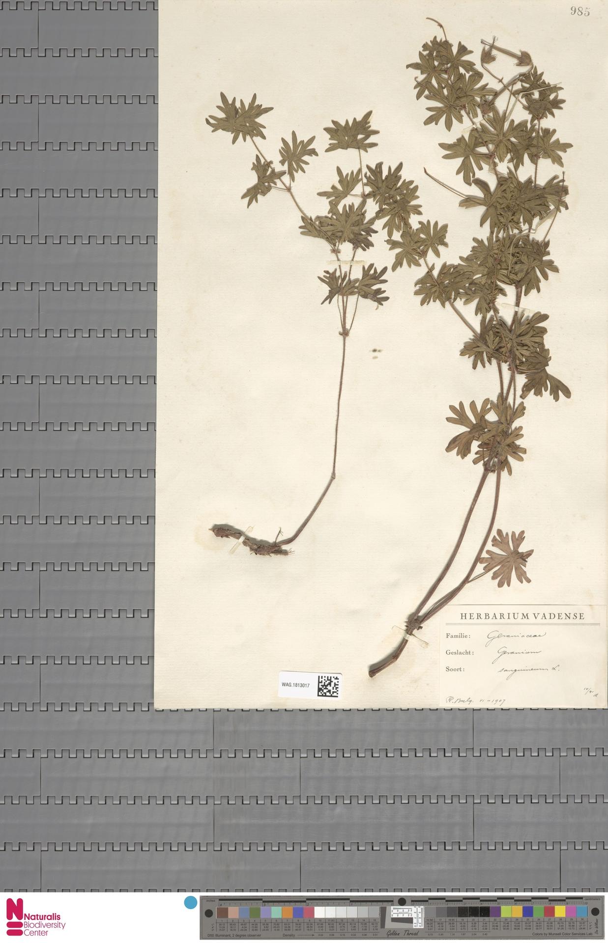 WAG.1813017 | Geranium sanguineum L.