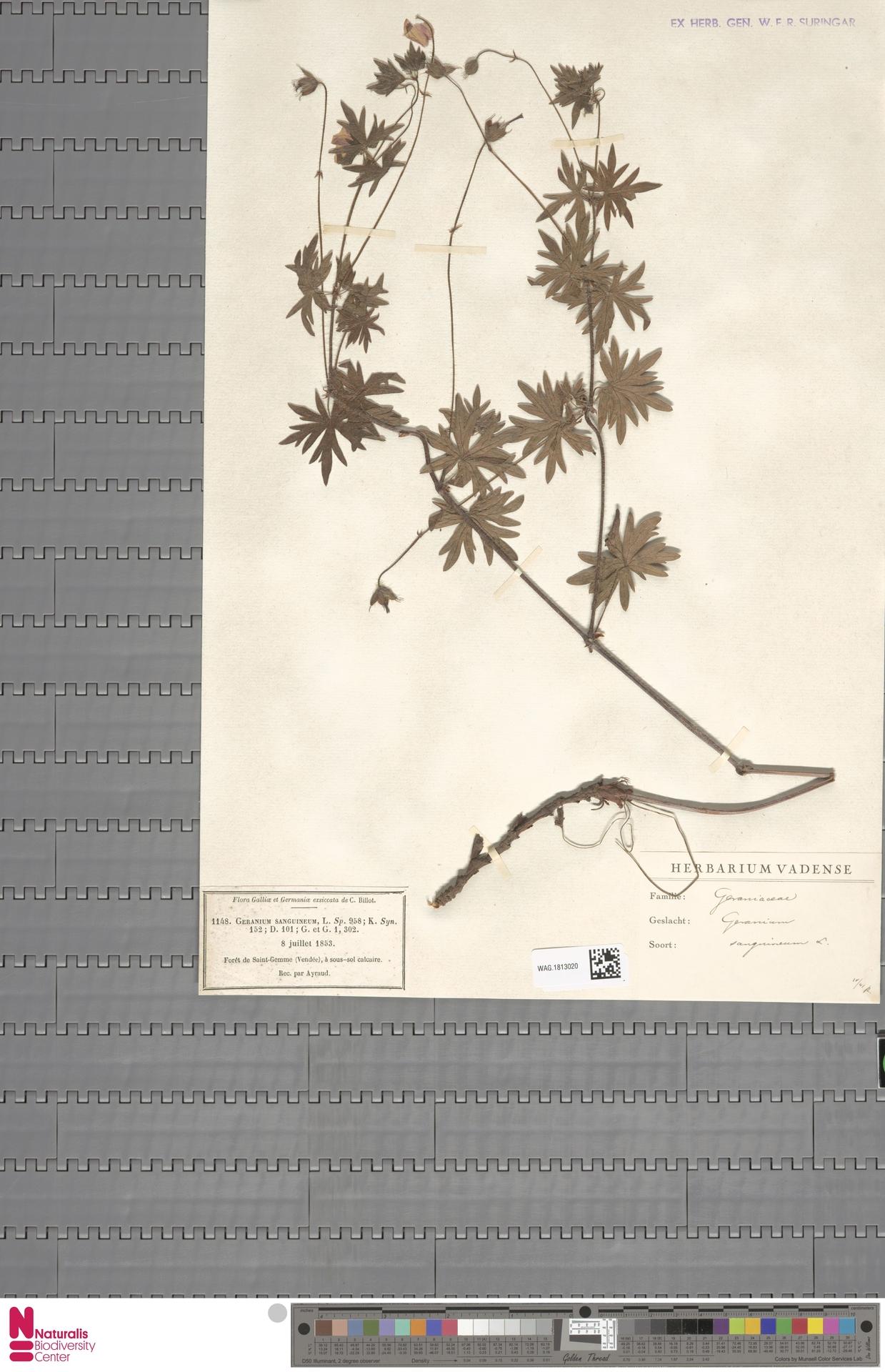 WAG.1813020   Geranium sanguineum L.