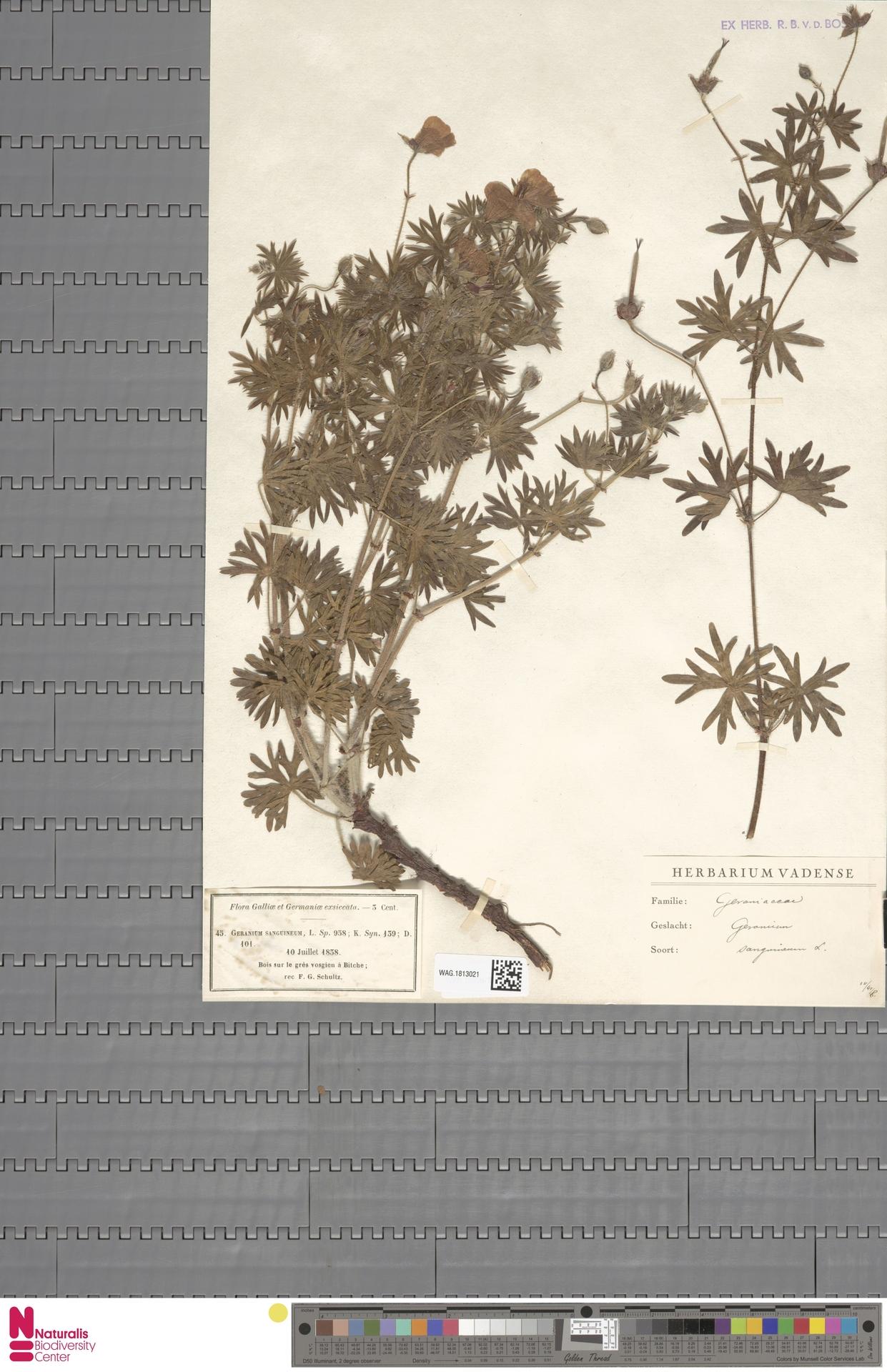 WAG.1813021 | Geranium sanguineum L.