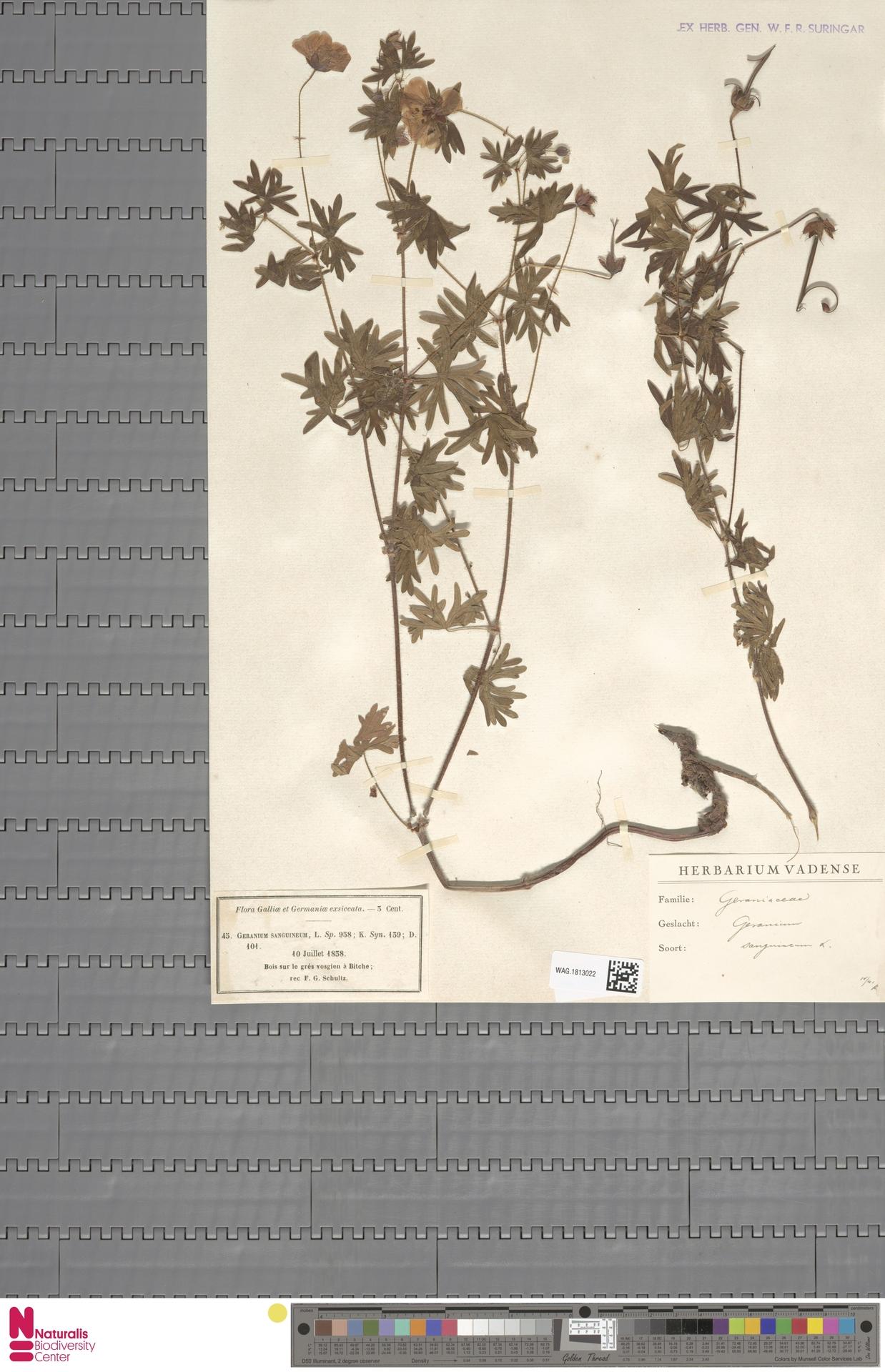 WAG.1813022   Geranium sanguineum L.