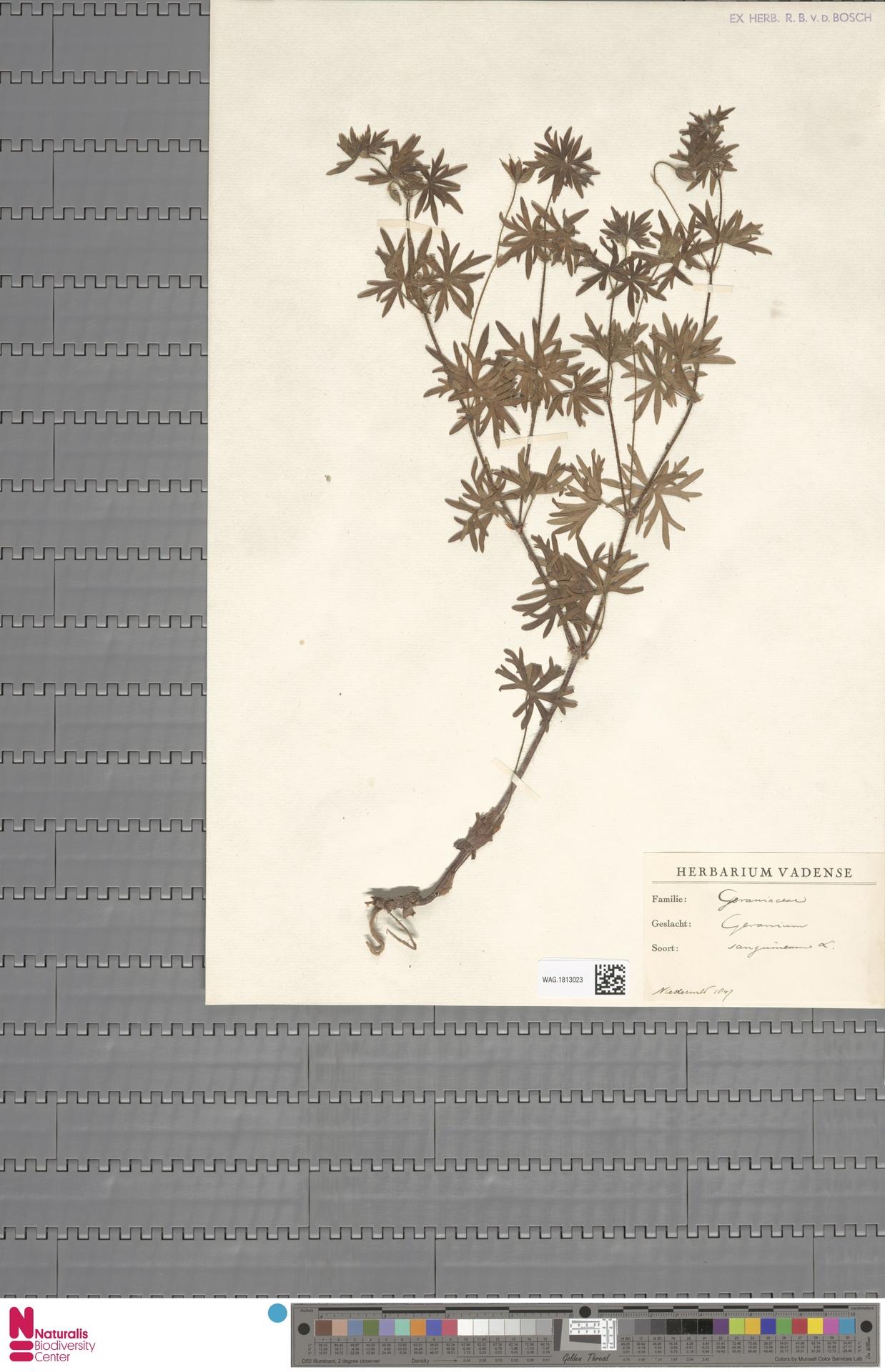 WAG.1813023 | Geranium sanguineum L.