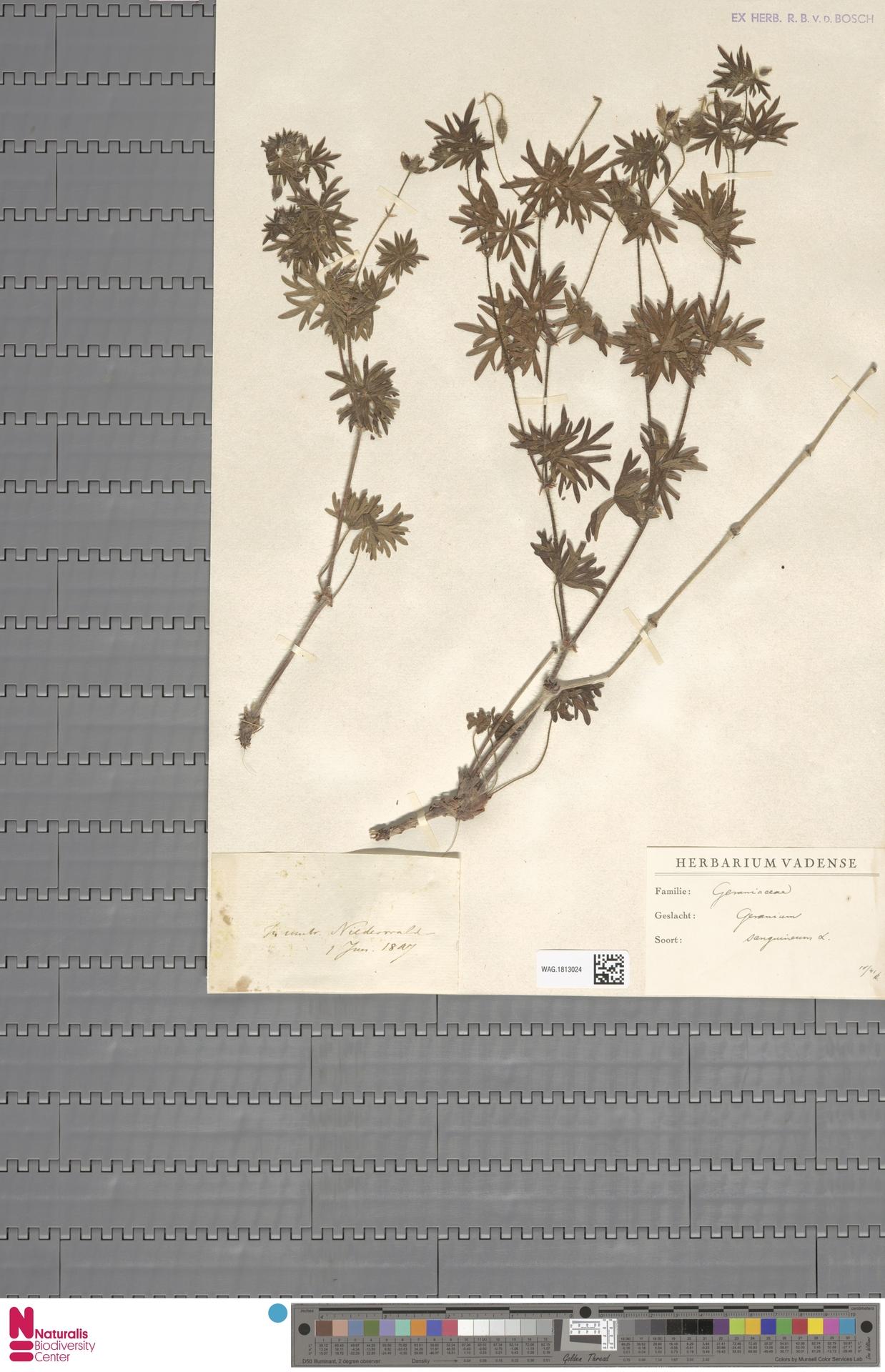 WAG.1813024 | Geranium sanguineum L.