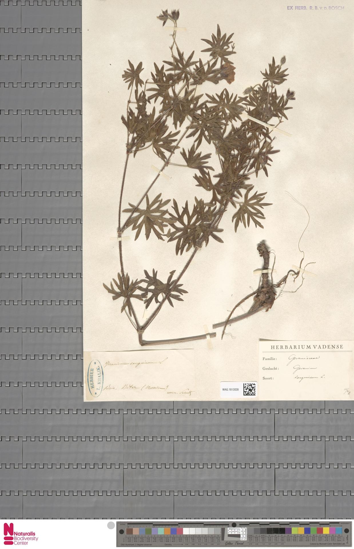 WAG.1813028 | Geranium sanguineum L.