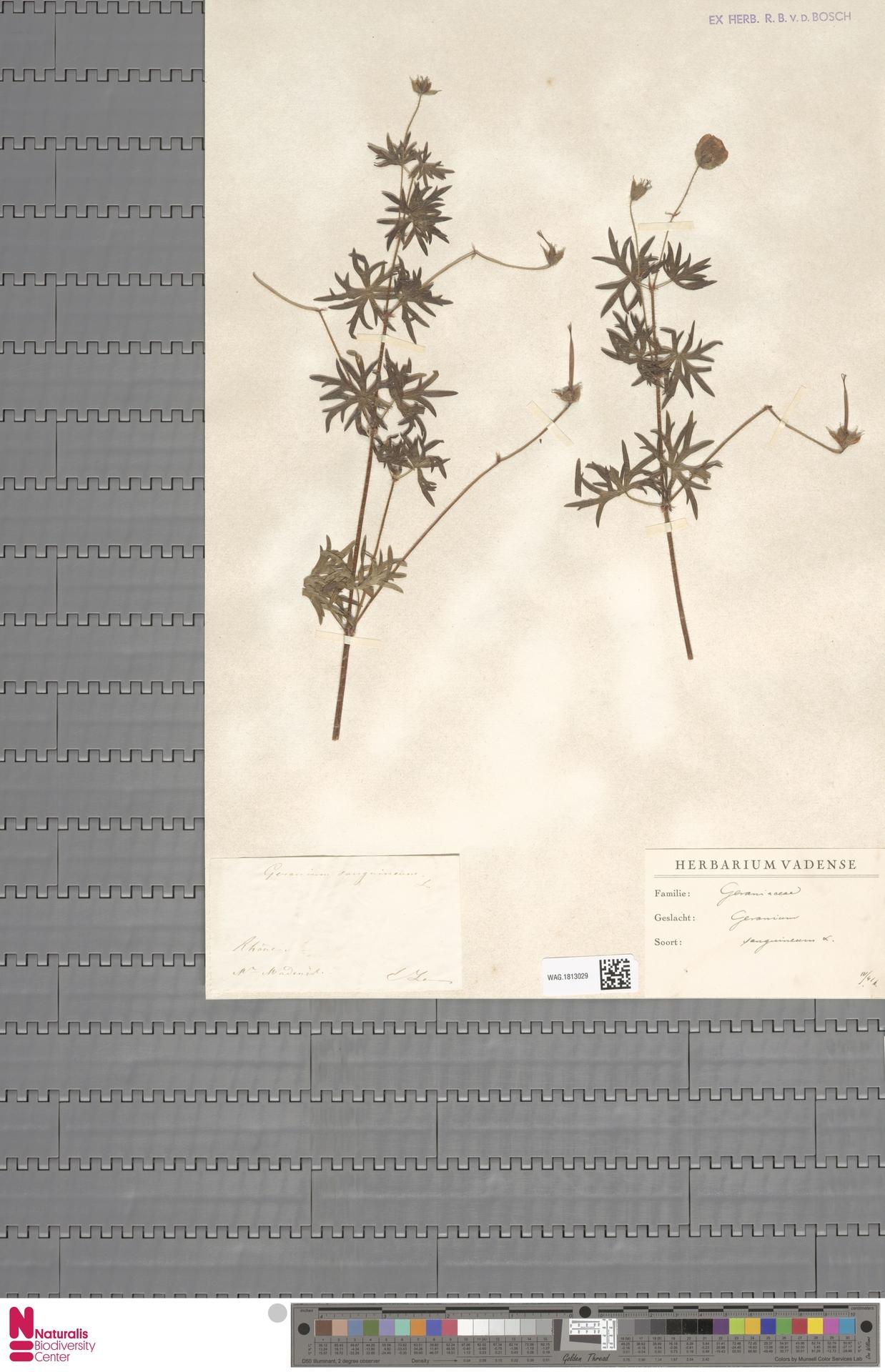 WAG.1813029 | Geranium sanguineum L.