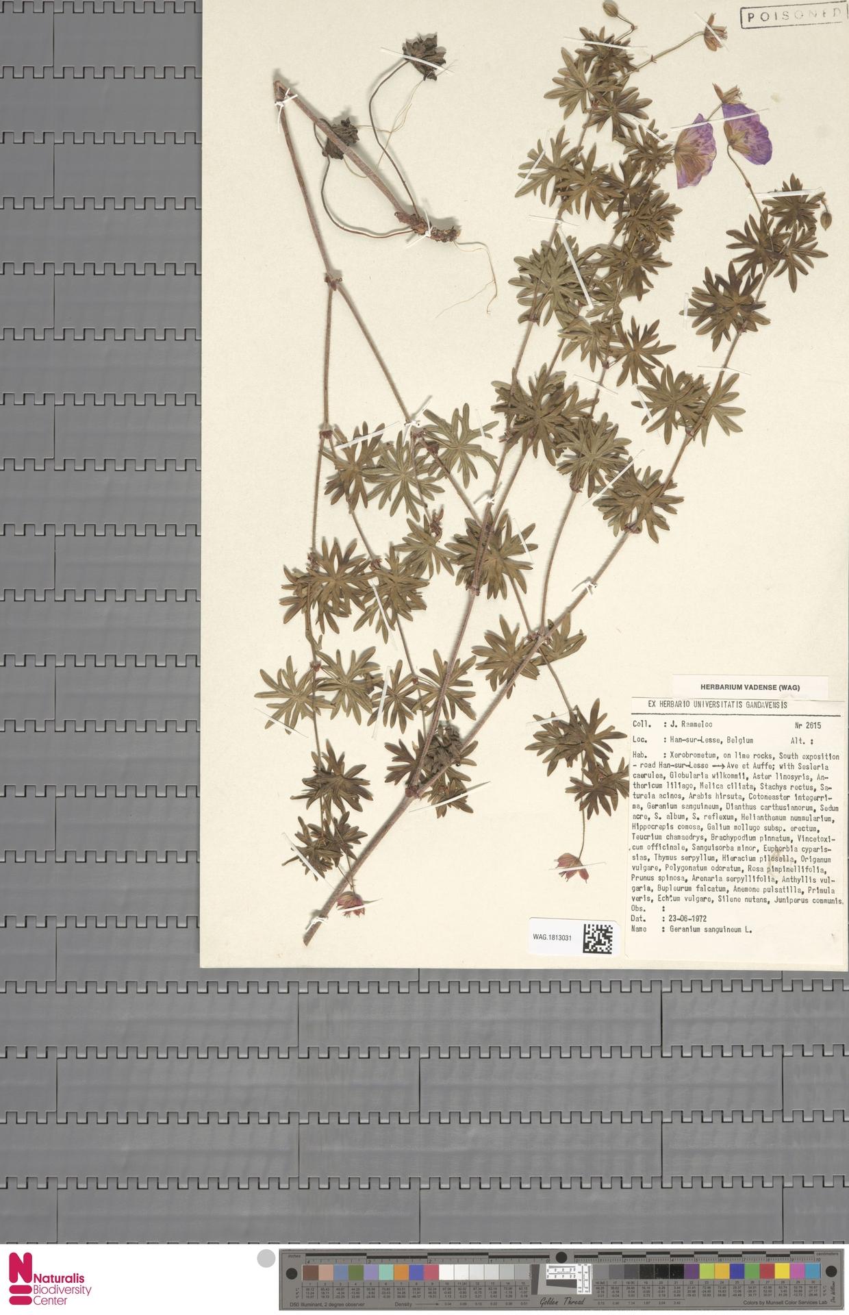 WAG.1813031 | Geranium sanguineum L.