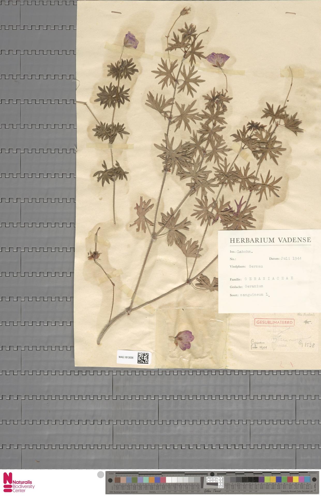 WAG.1813036 | Geranium sanguineum L.