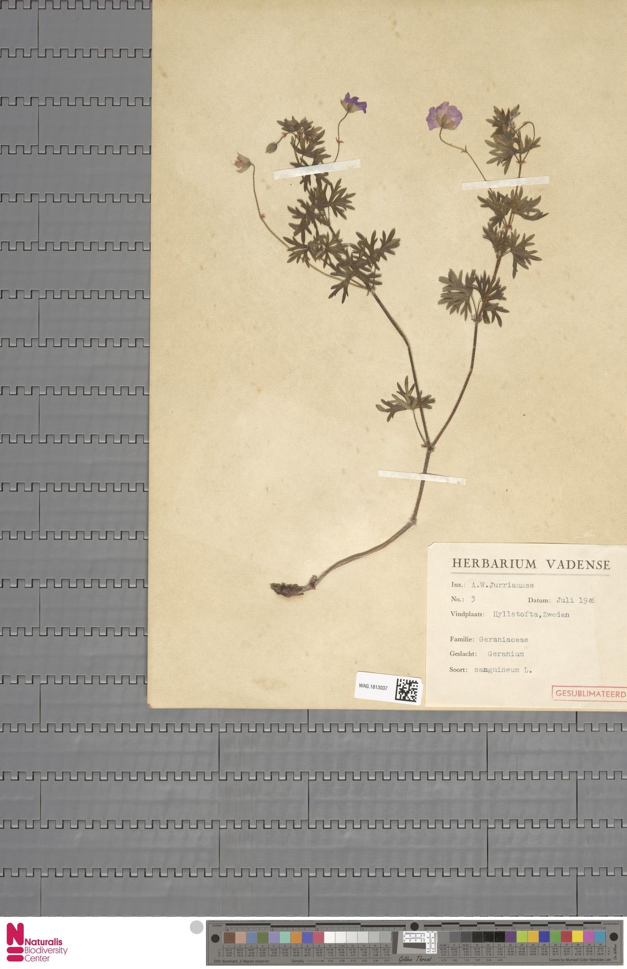 WAG.1813037 | Geranium sanguineum L.