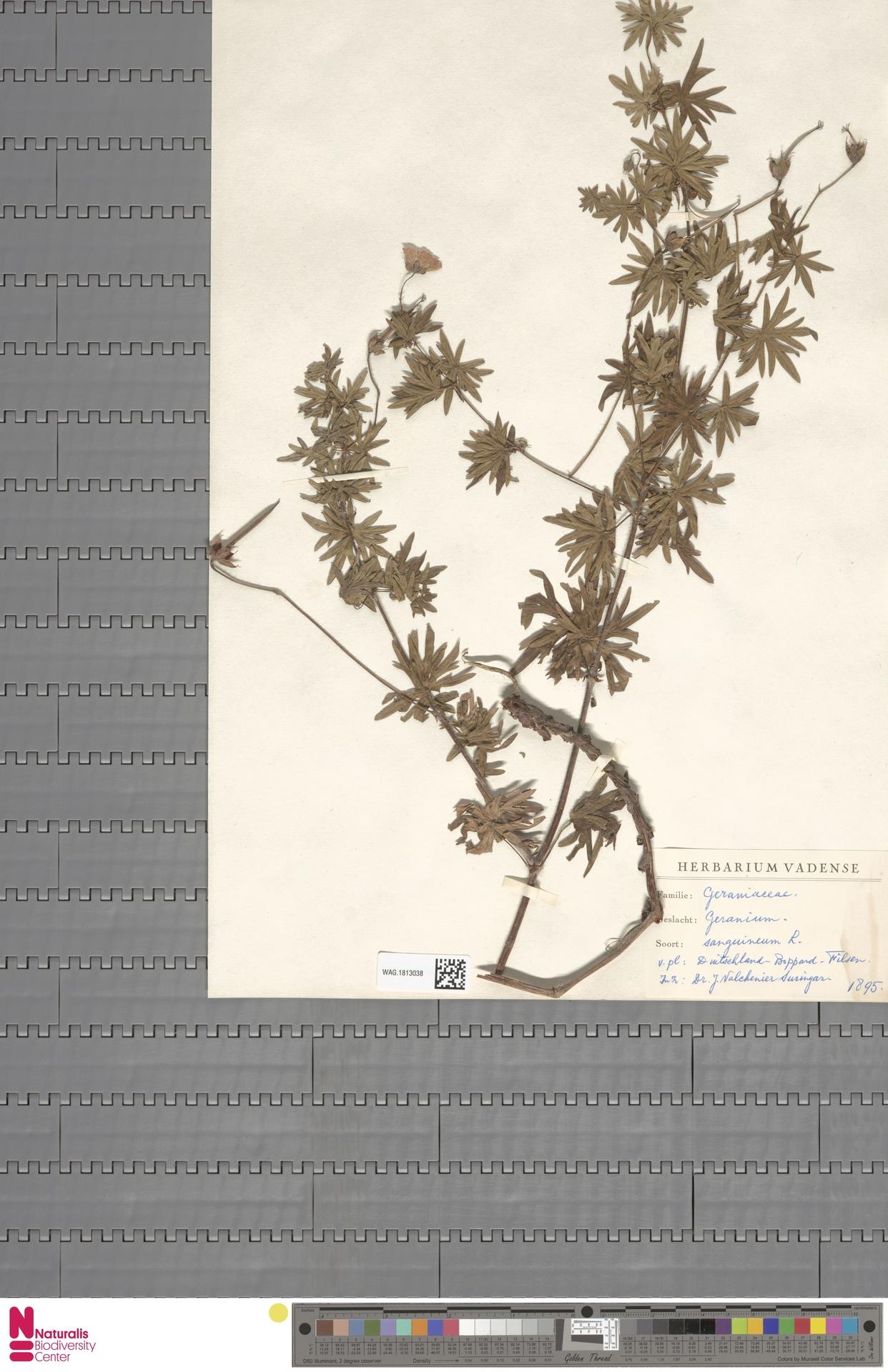 WAG.1813038 | Geranium sanguineum L.