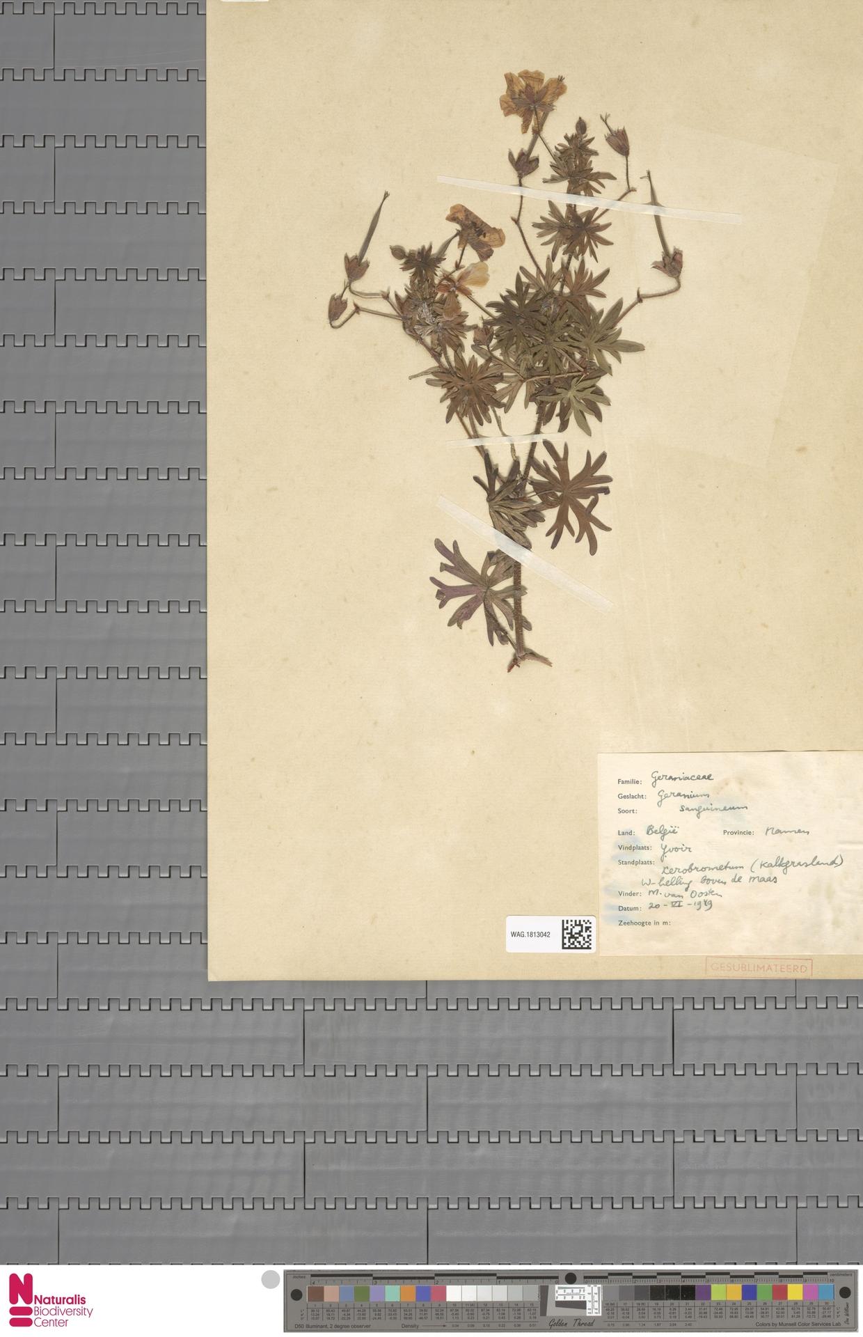 WAG.1813042 | Geranium sanguineum L.