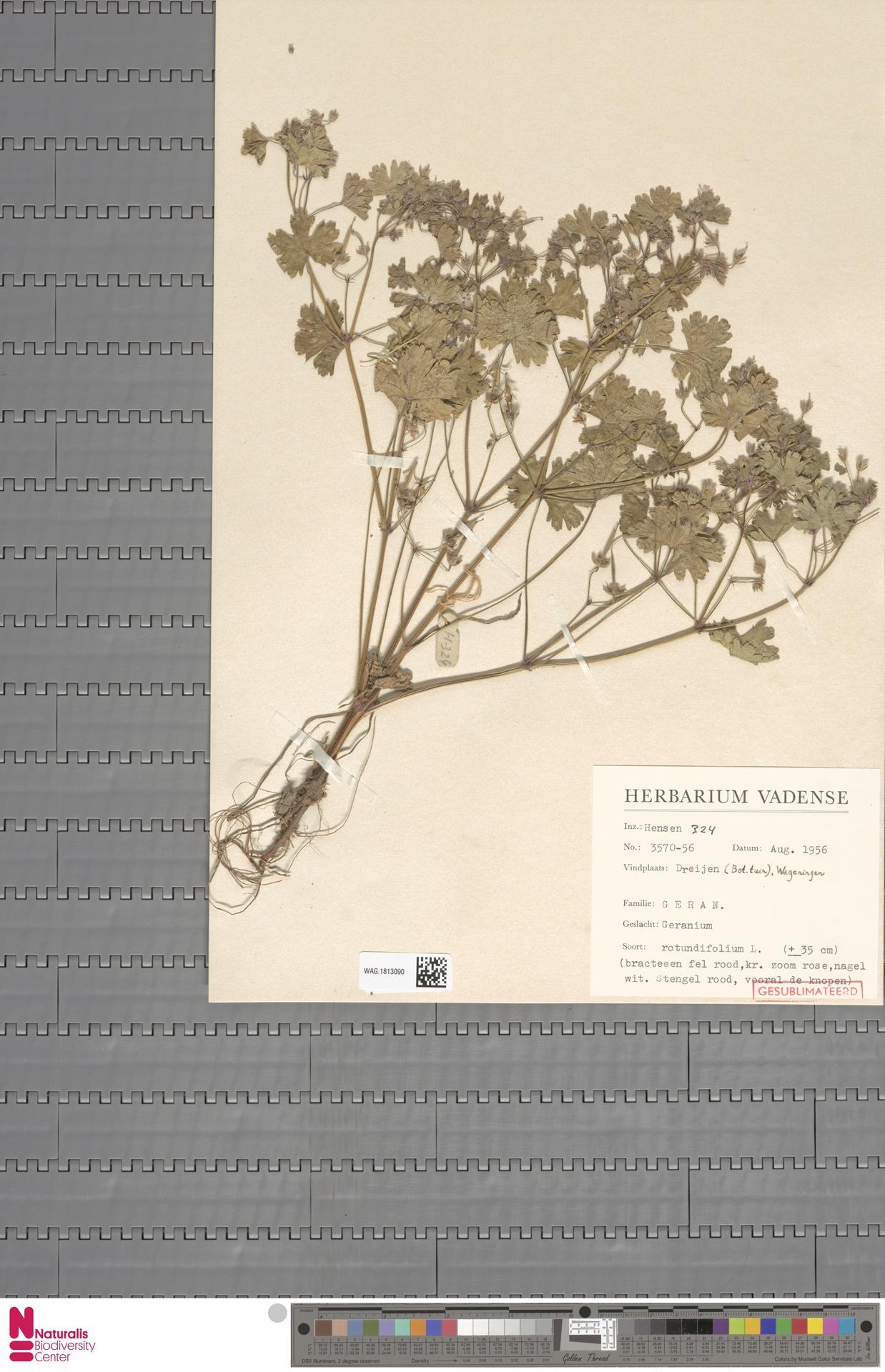 WAG.1813090 | Geranium rotundifolium L.