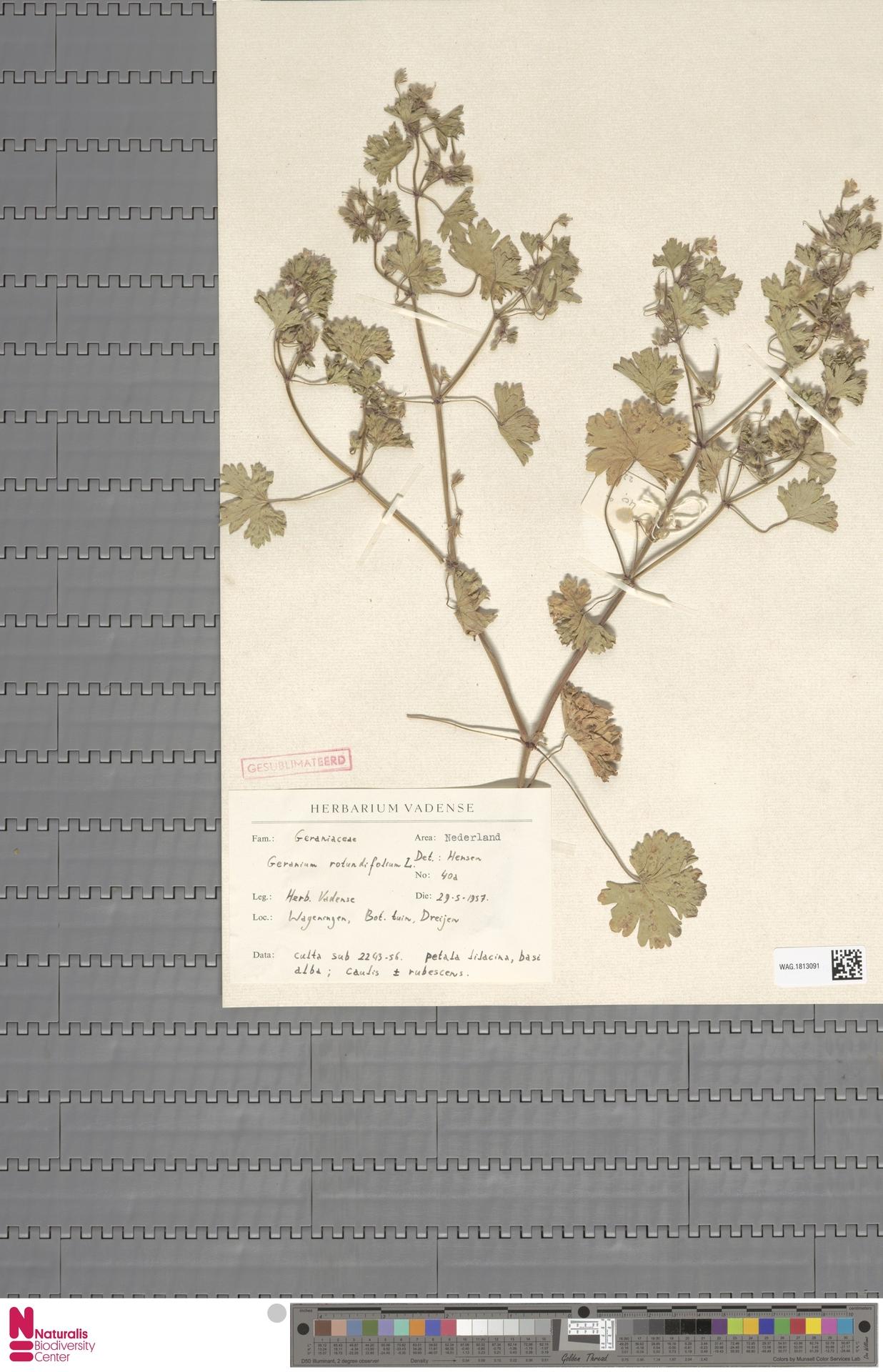 WAG.1813091 | Geranium rotundifolium L.