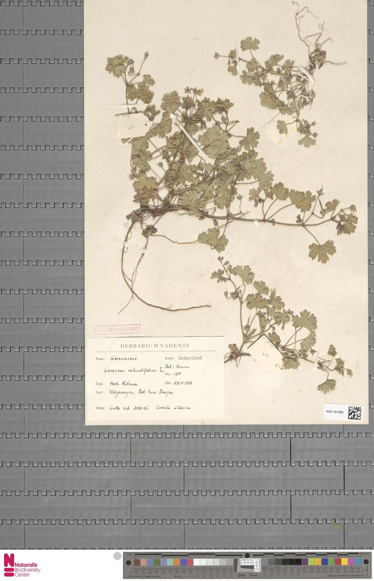 WAG.1813092 | Geranium rotundifolium L.