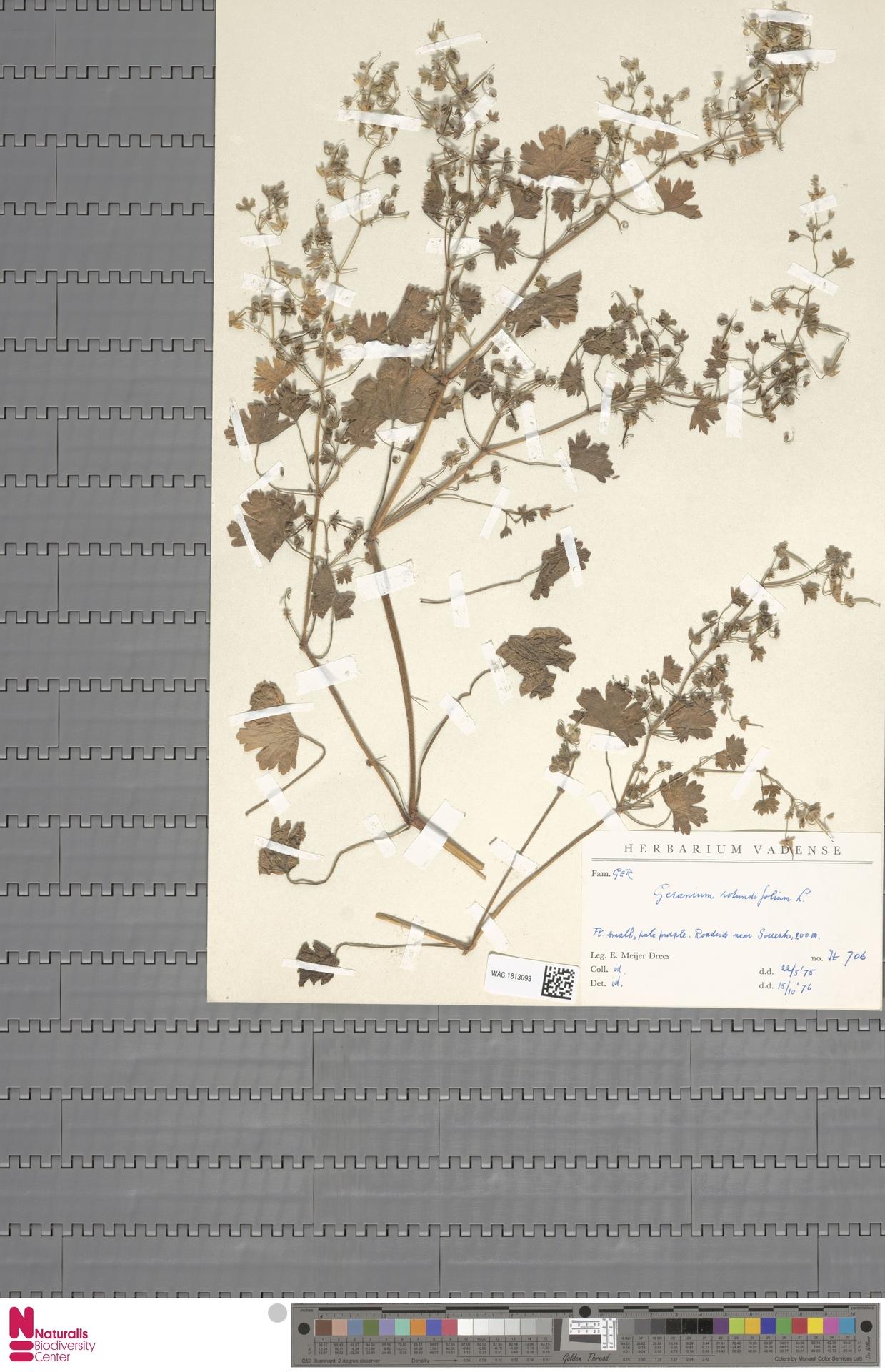 WAG.1813093 | Geranium rotundifolium L.