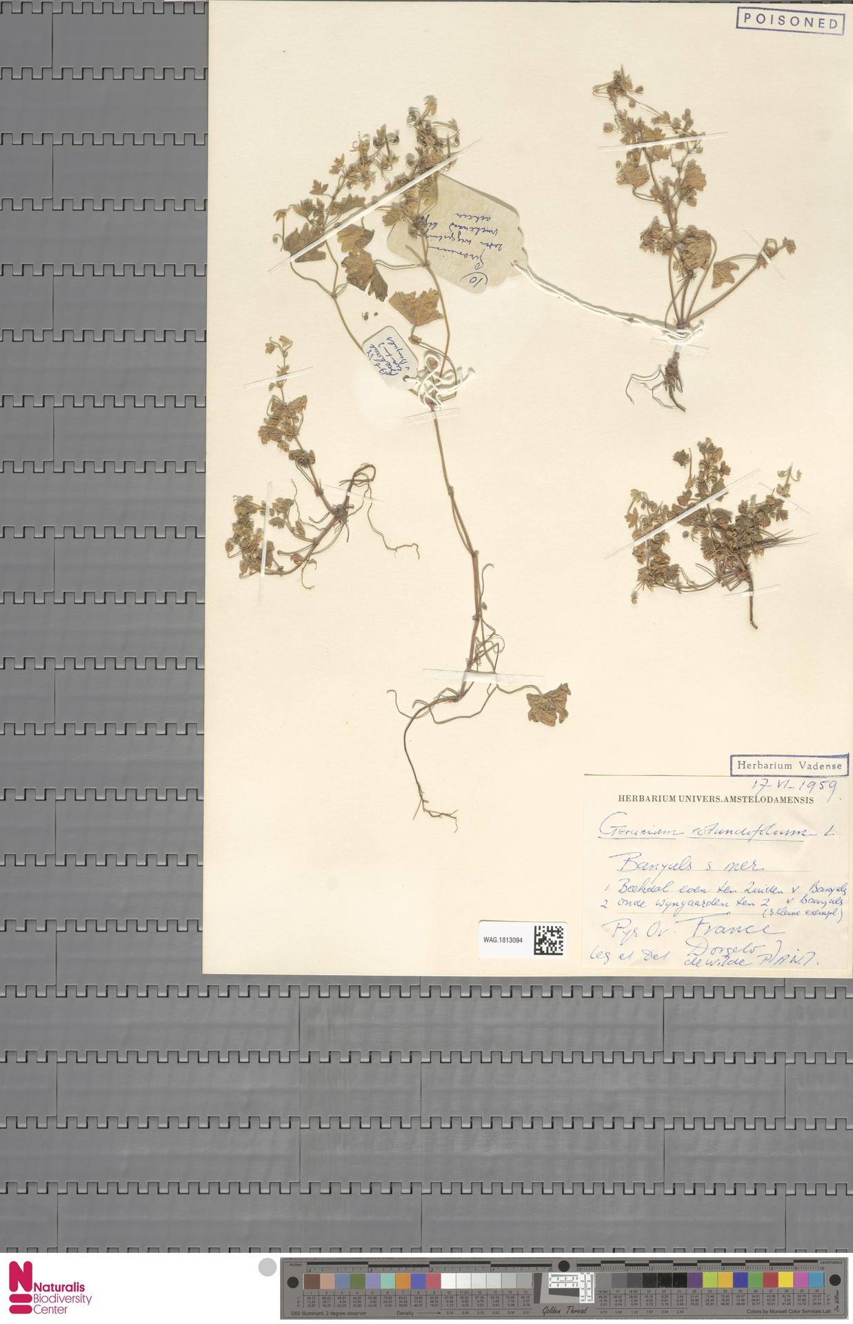 WAG.1813094 | Geranium rotundifolium L.