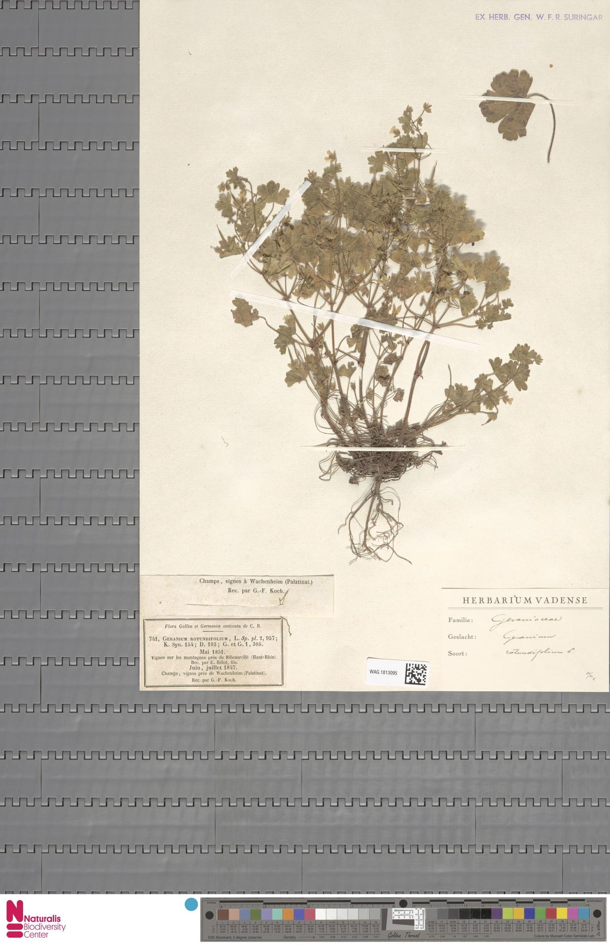 WAG.1813095 | Geranium rotundifolium L.
