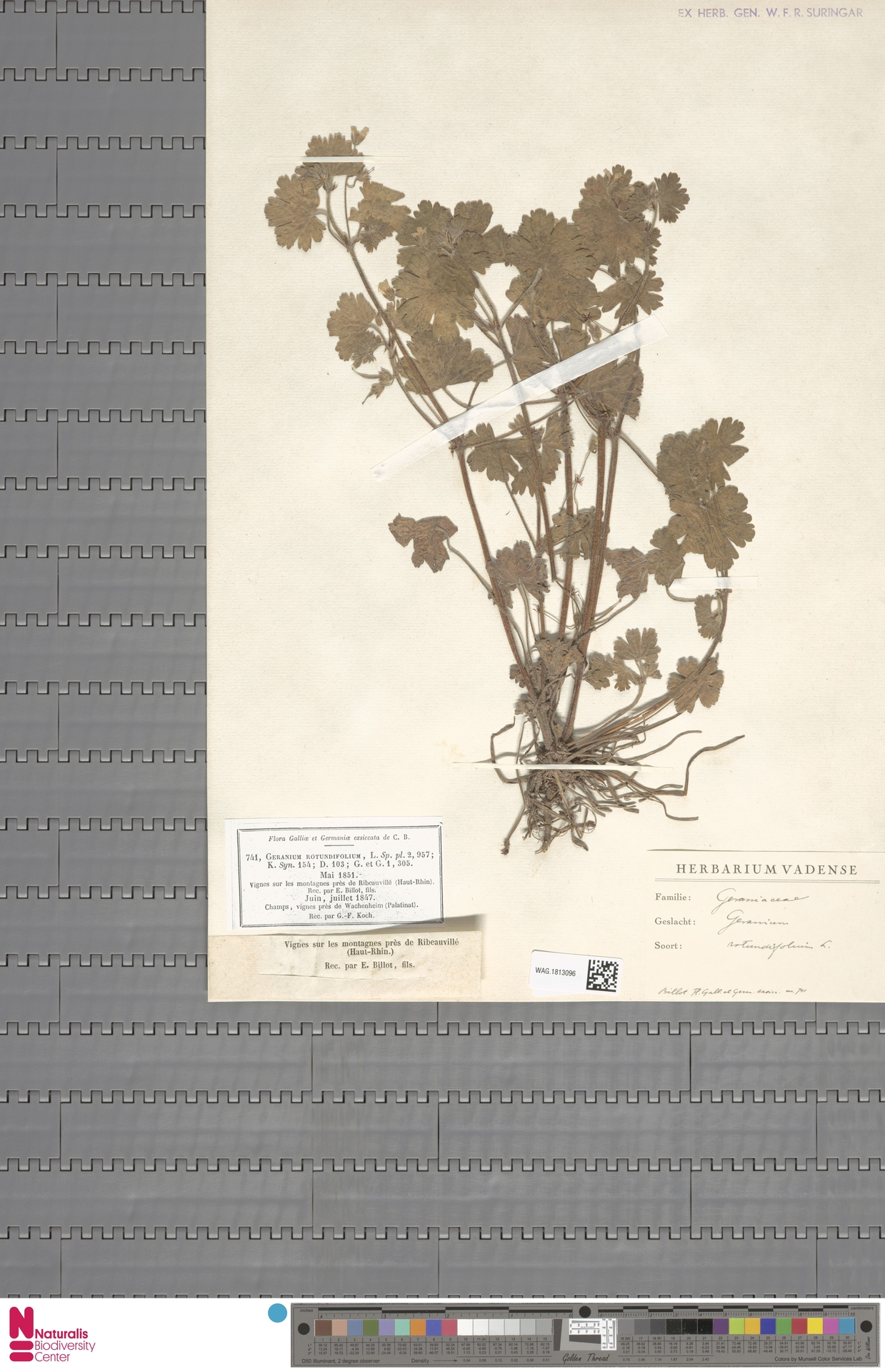 WAG.1813096 | Geranium rotundifolium L.