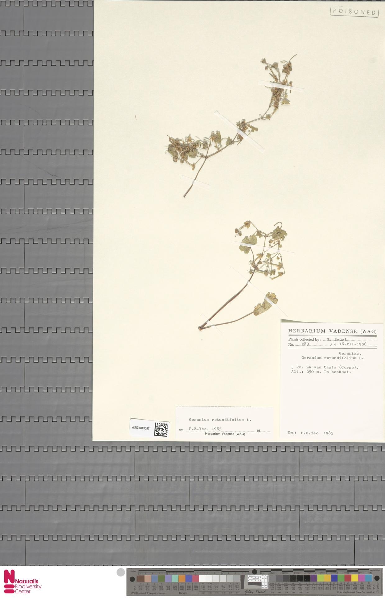 WAG.1813097 | Geranium rotundifolium L.