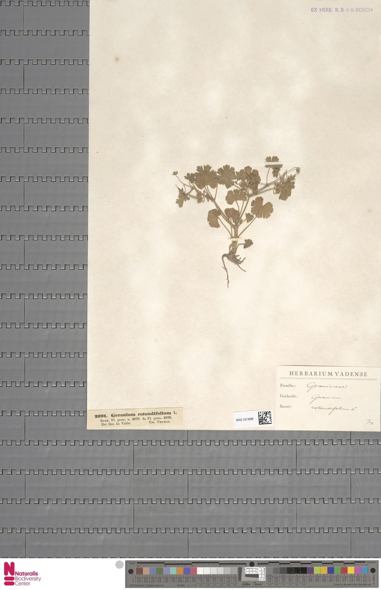 WAG.1813098 | Geranium rotundifolium L.