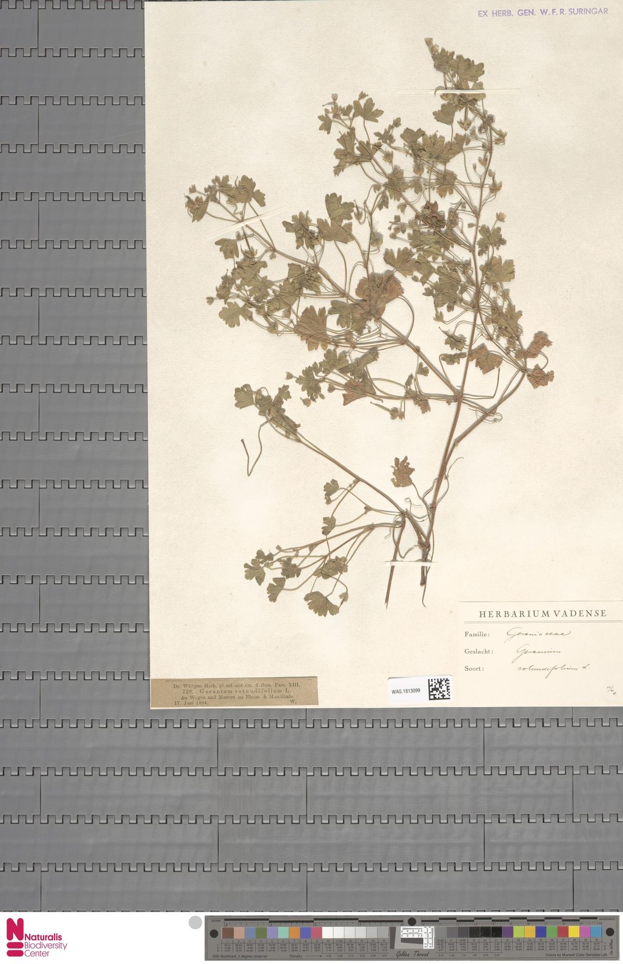 WAG.1813099 | Geranium rotundifolium L.