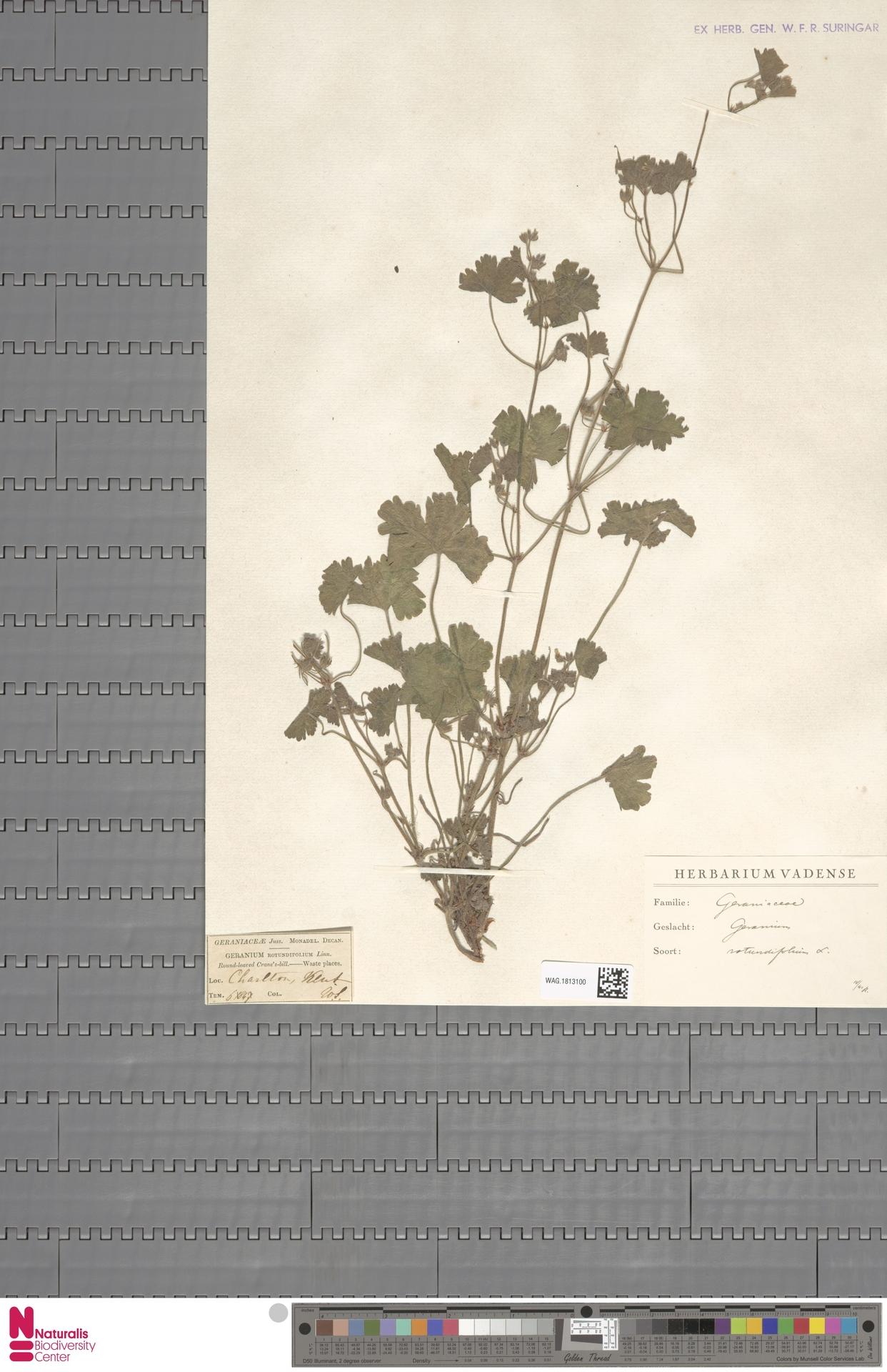WAG.1813100 | Geranium rotundifolium L.