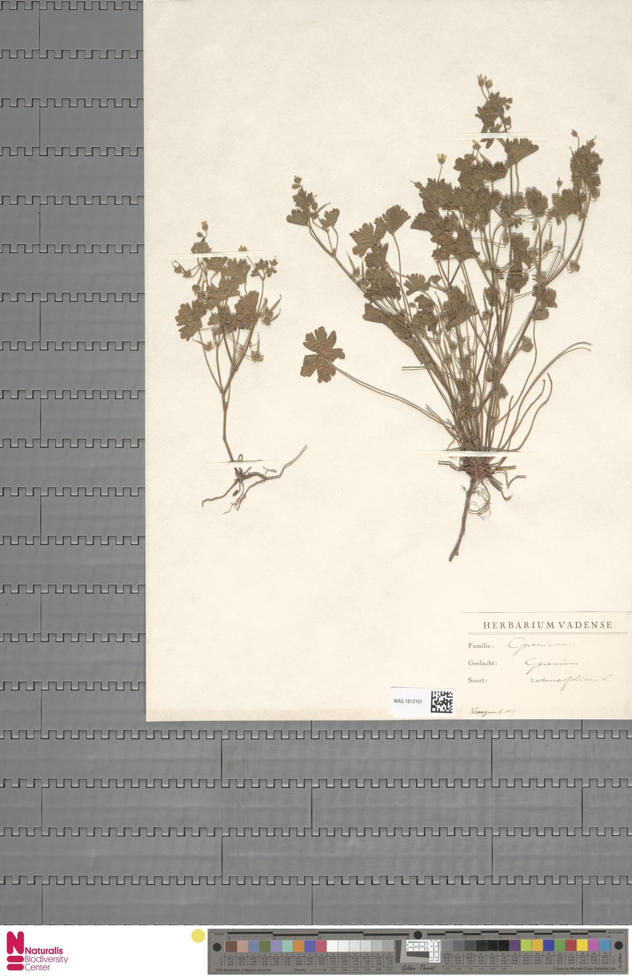 WAG.1813101 | Geranium rotundifolium L.