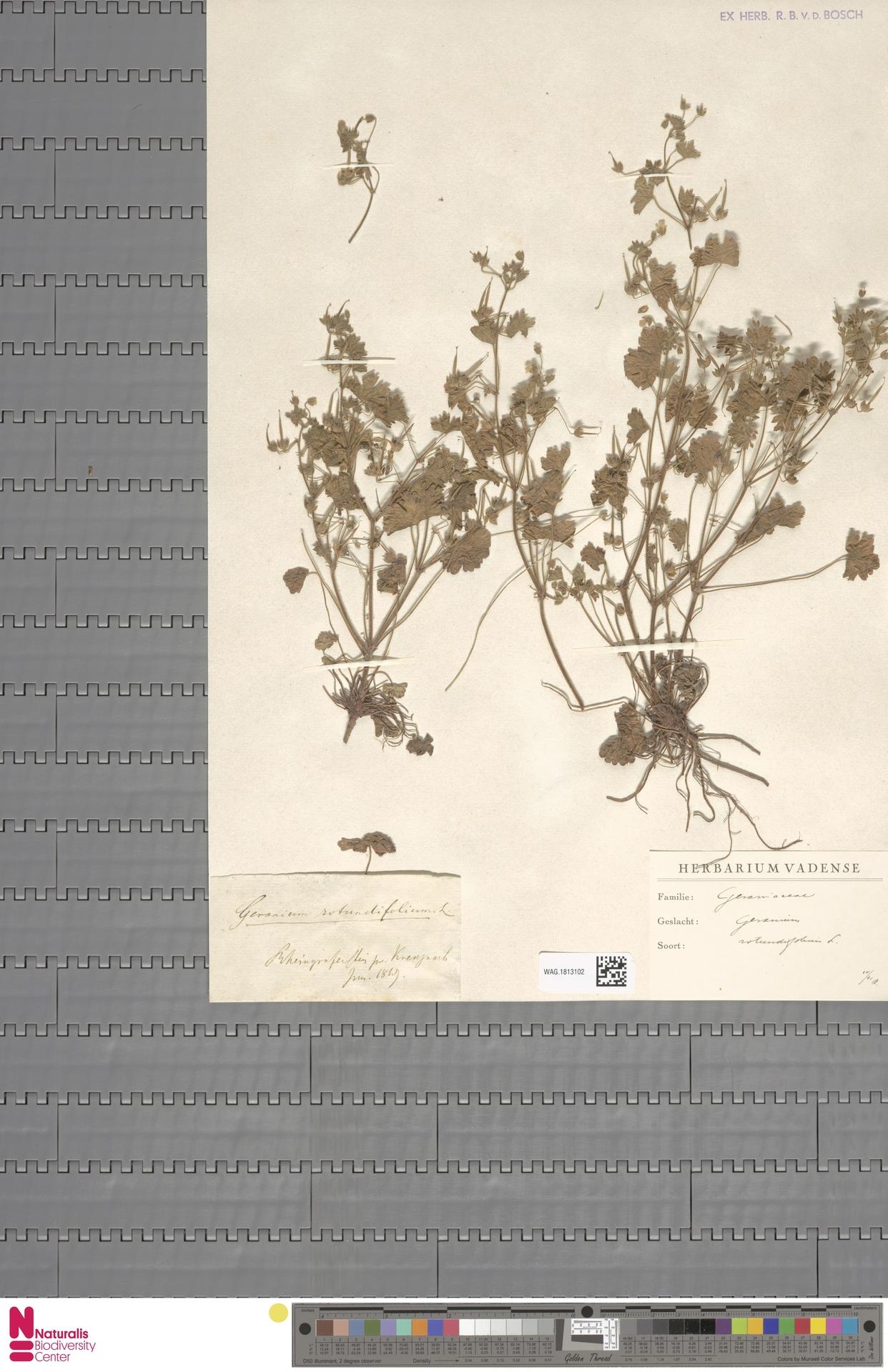 WAG.1813102   Geranium rotundifolium L.