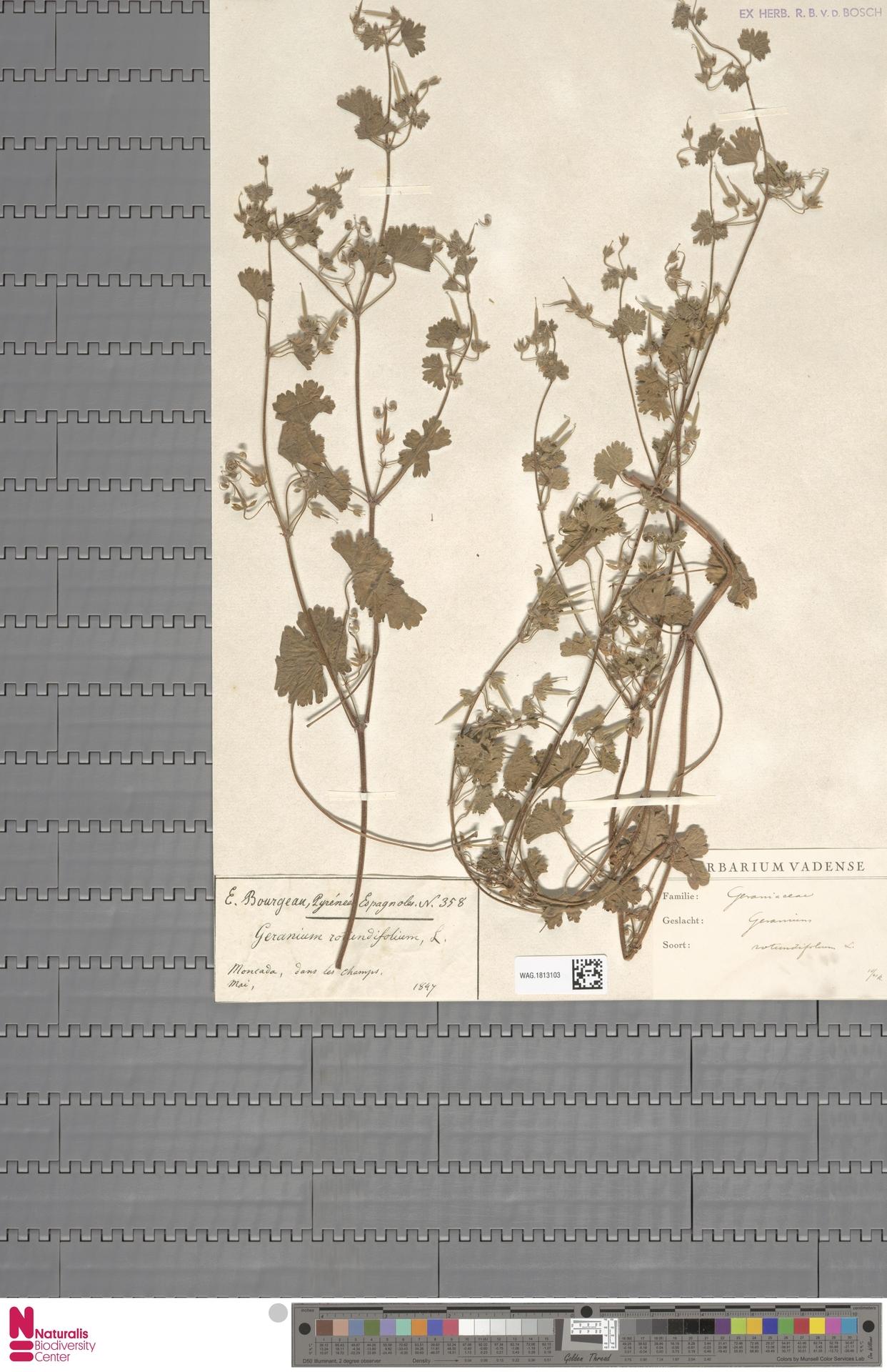 WAG.1813103 | Geranium rotundifolium L.