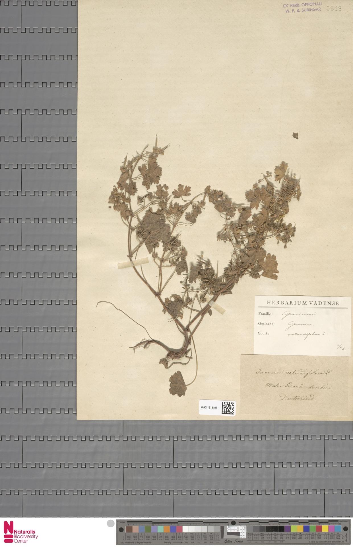 WAG.1813105 | Geranium rotundifolium L.