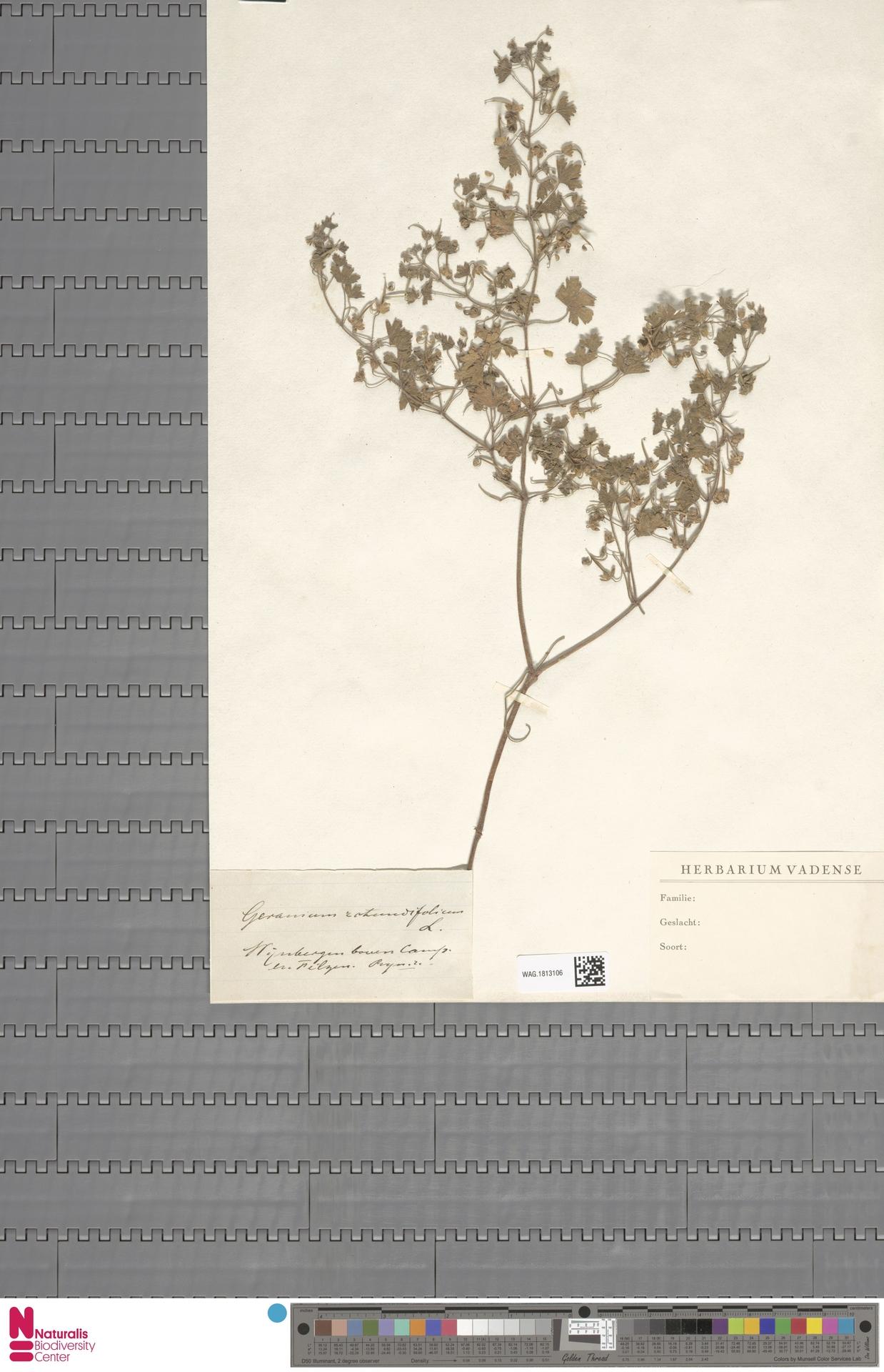 WAG.1813106   Geranium rotundifolium L.