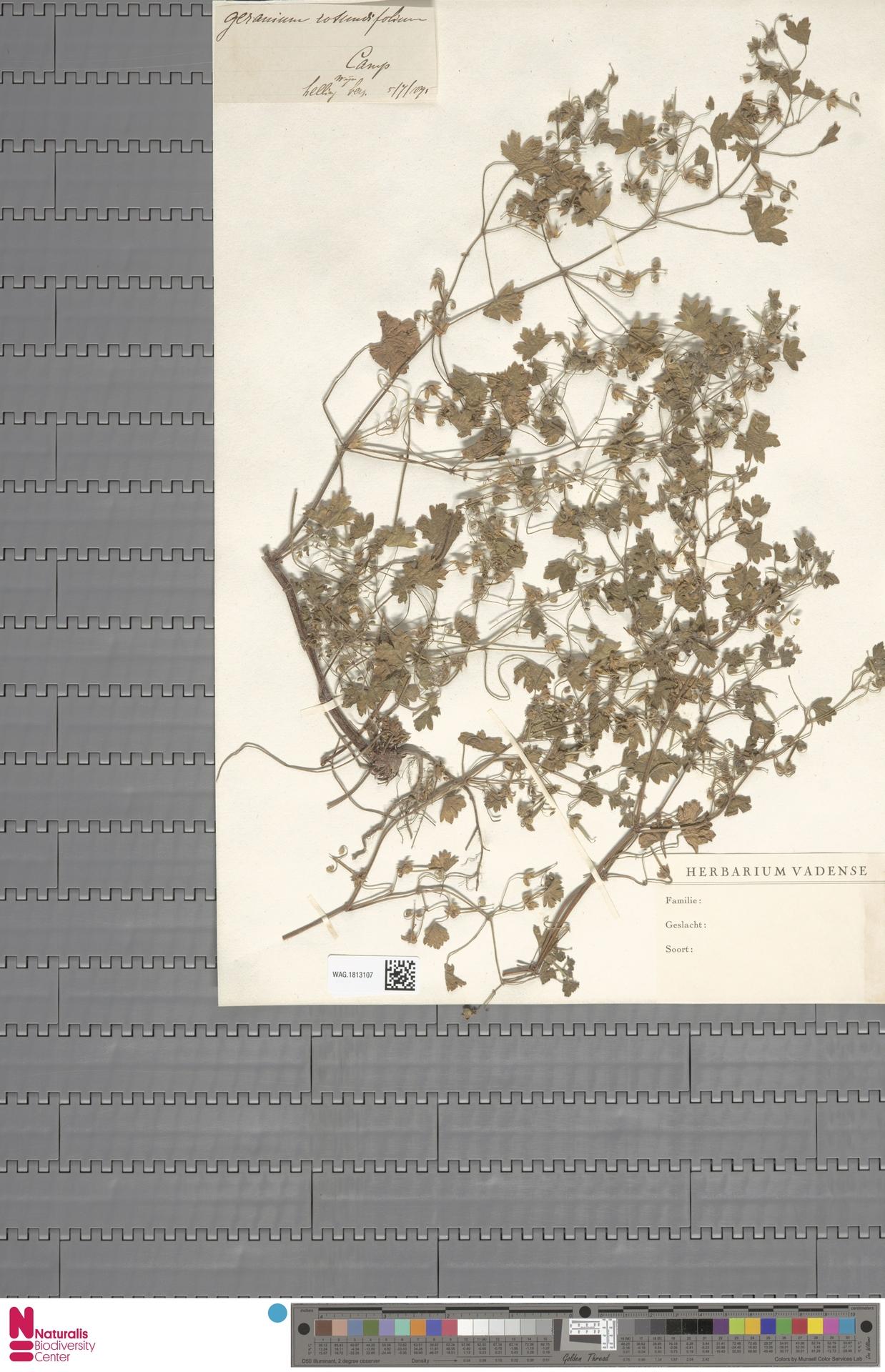 WAG.1813107   Geranium rotundifolium L.